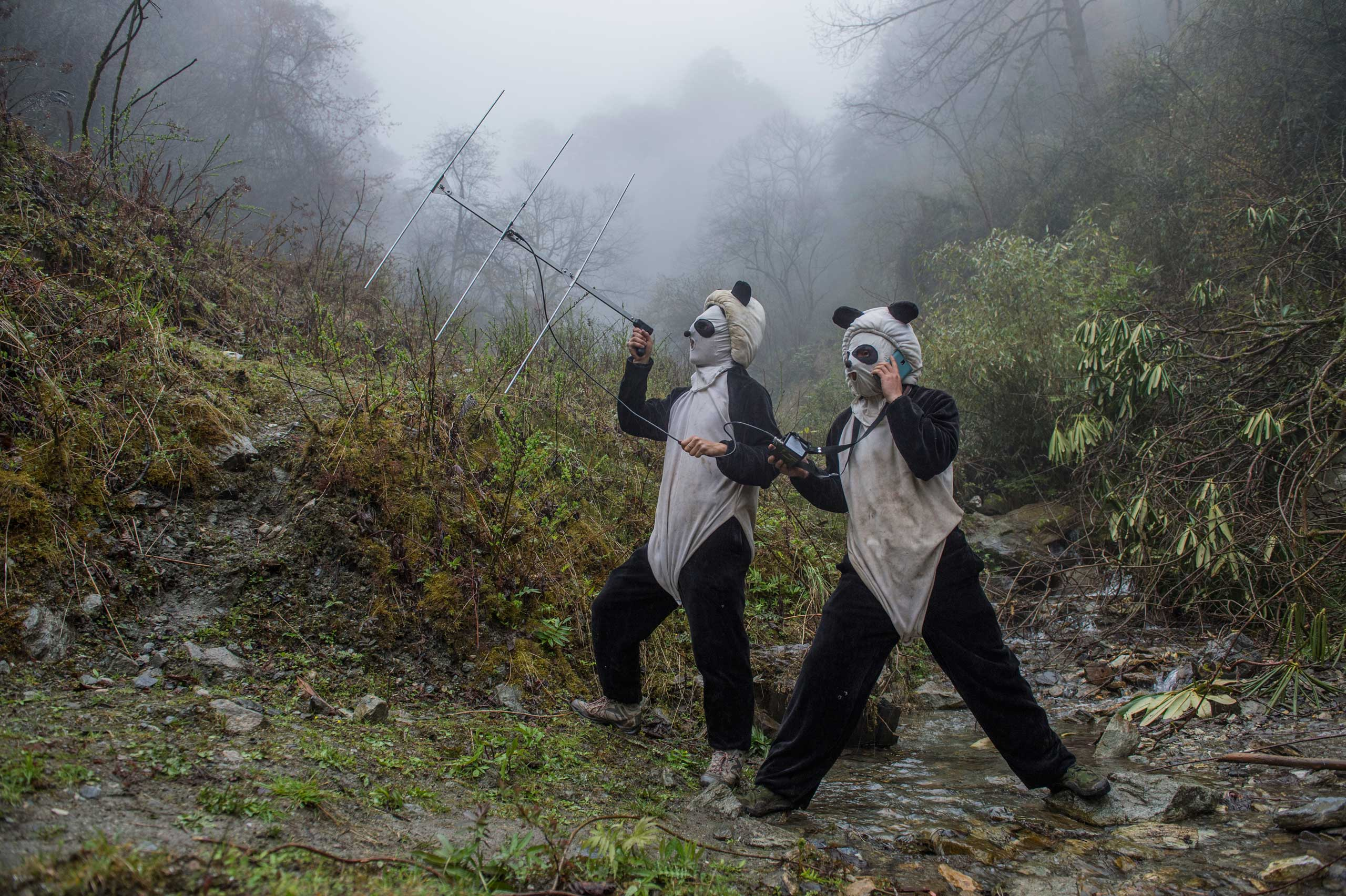 The Chinese know how to breed the popular bears. Now they're releasing them into the wild, where the animals and their habitat face risks.