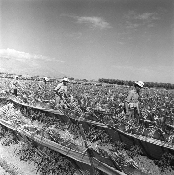 Mexican laborers working on a farm in California, 1957.