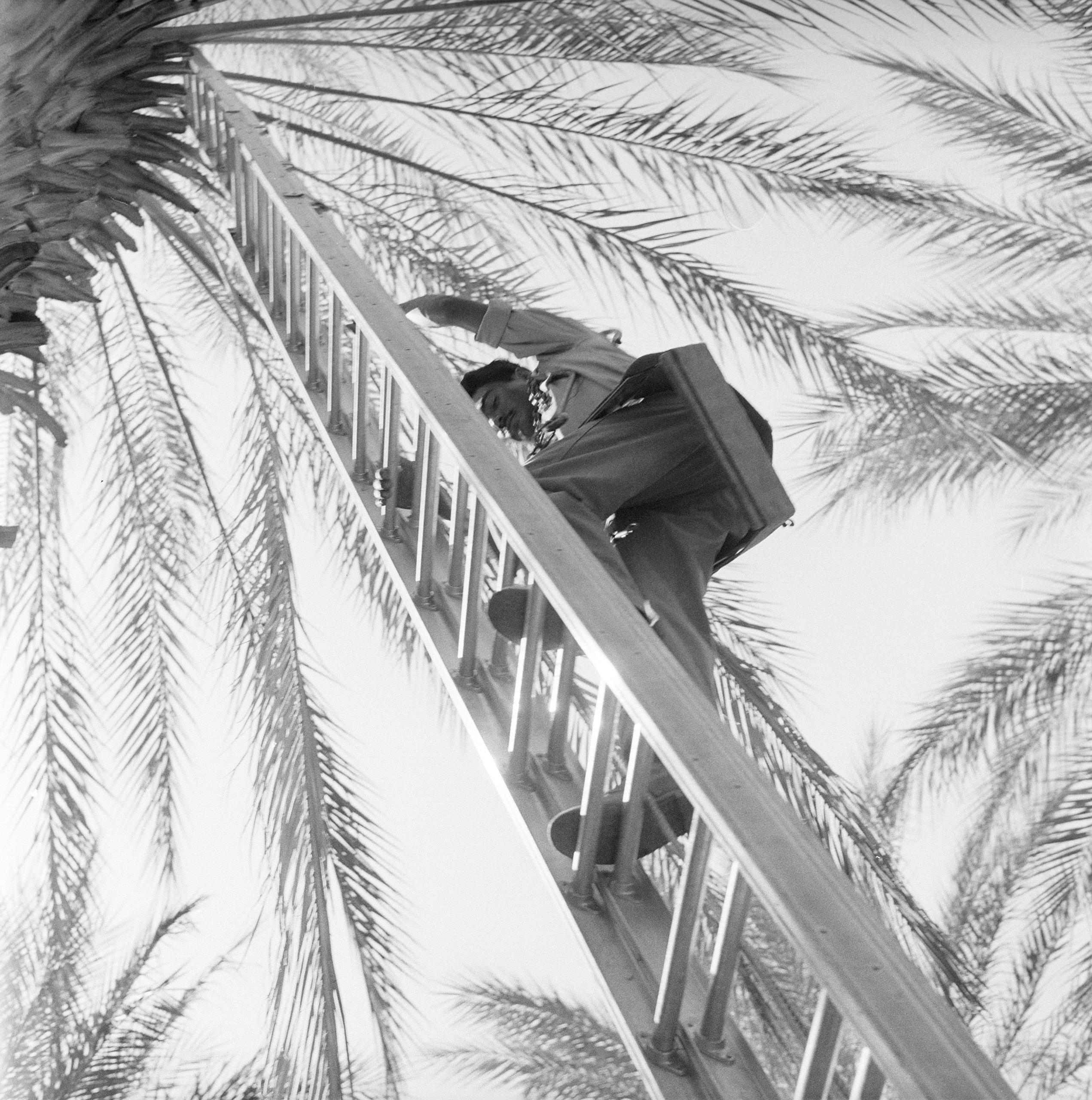 A Mexican farm laborer climbs a ladder under a date palm tree, California, 1957.