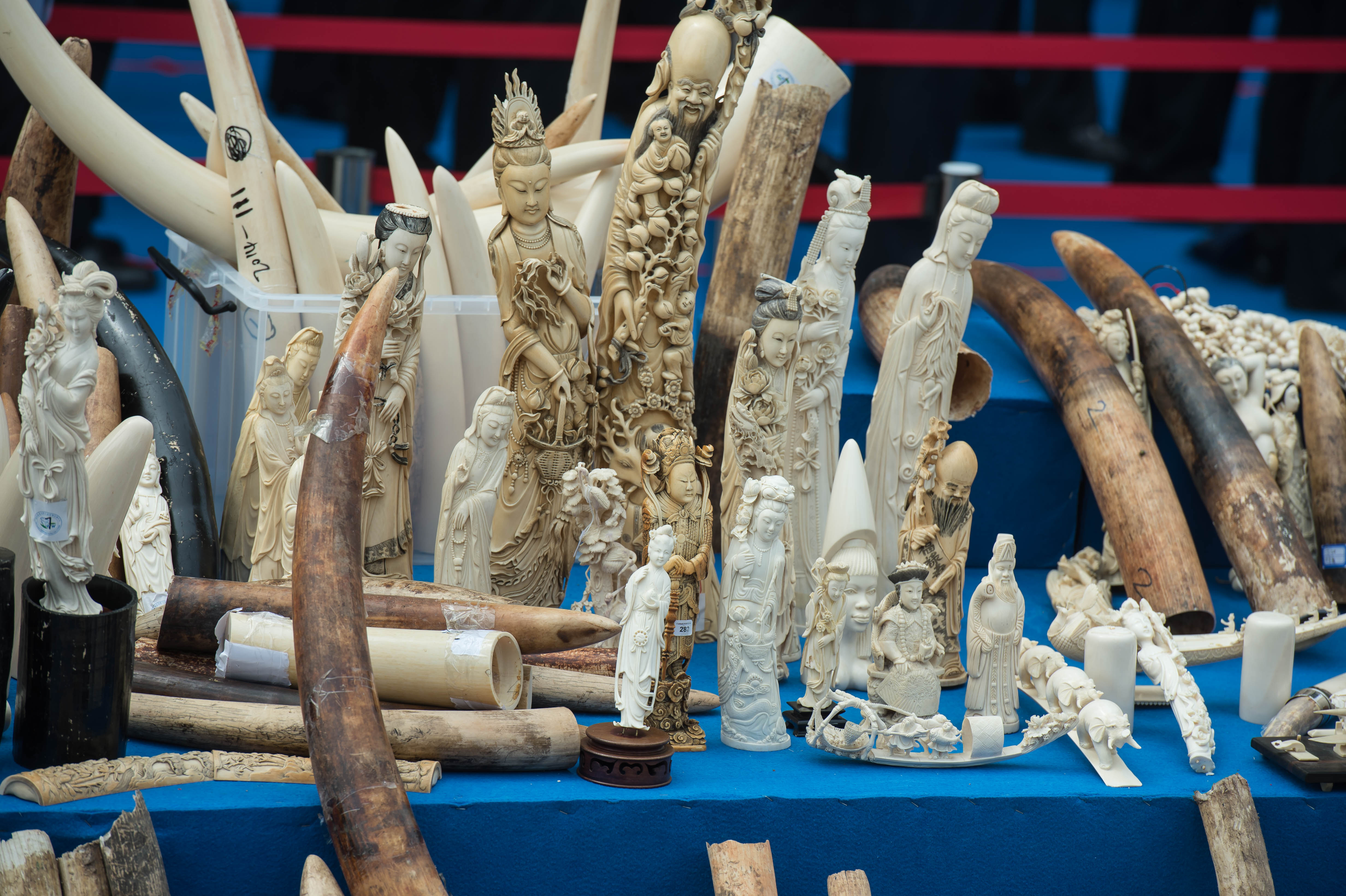Staff of the State Forest Administration and police of General Administration of Customs destroy about 662 kilograms of illegal ivory and ivory products at Beijing Wildlife Rescue and Rehabilitation Center on May 29, 2015 in Beijing, China.