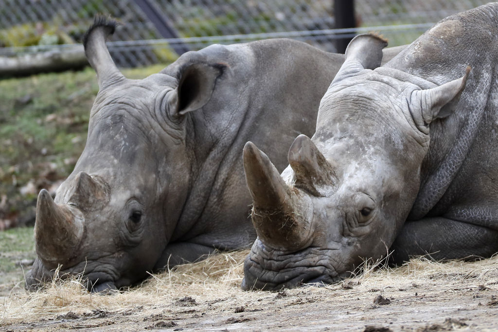 A photo taken on March 8, 2017 shows two rhinos at the Thoiry Zoo, after intruders shot dead a white rhino and hacked off his horns.