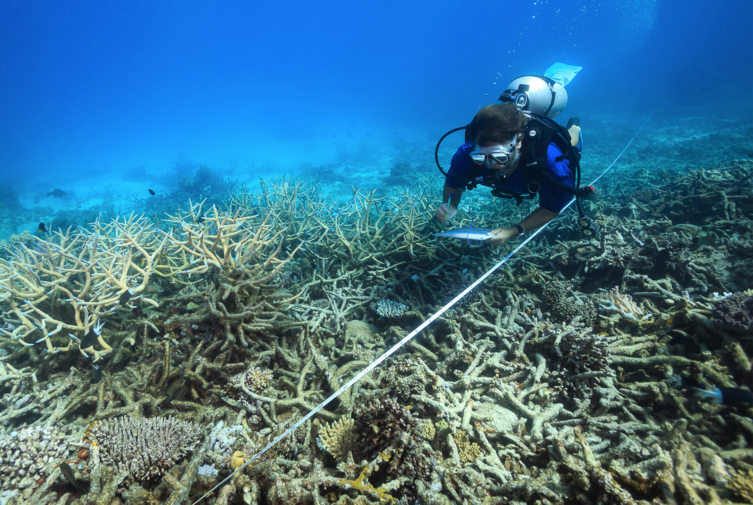 In this October 2016 photo, a scientist measures coral mortality following bleaching on the northern Great Barrier Reef, Australia.