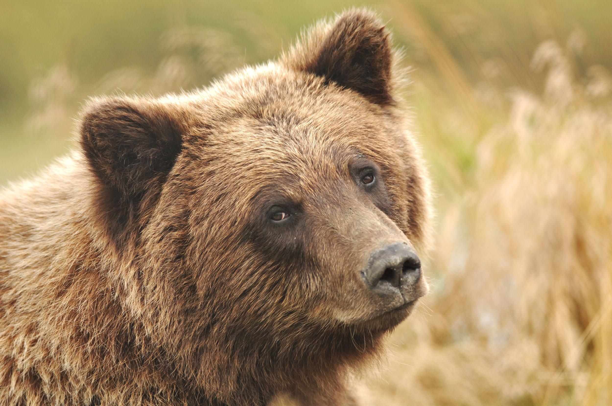 A grizzly bear is pictured in its enclosure at the Alaska Wildlife Conservation Center in Portage, Alaska on Aug. 22, 2005.