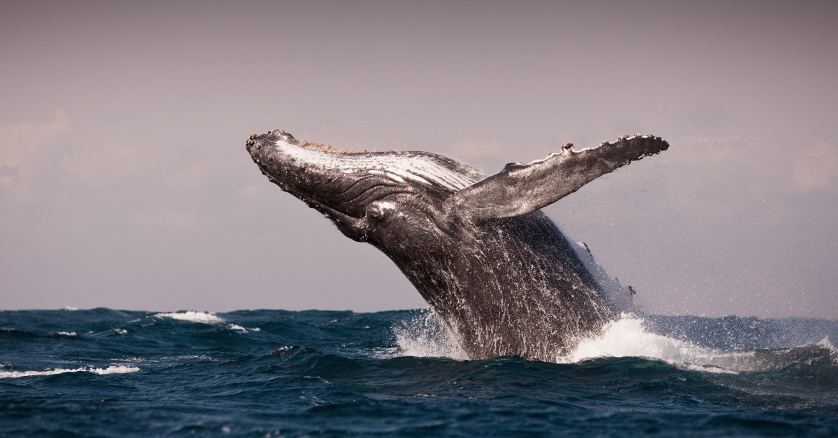 Humpback Whales Discovered In Super Groups Time