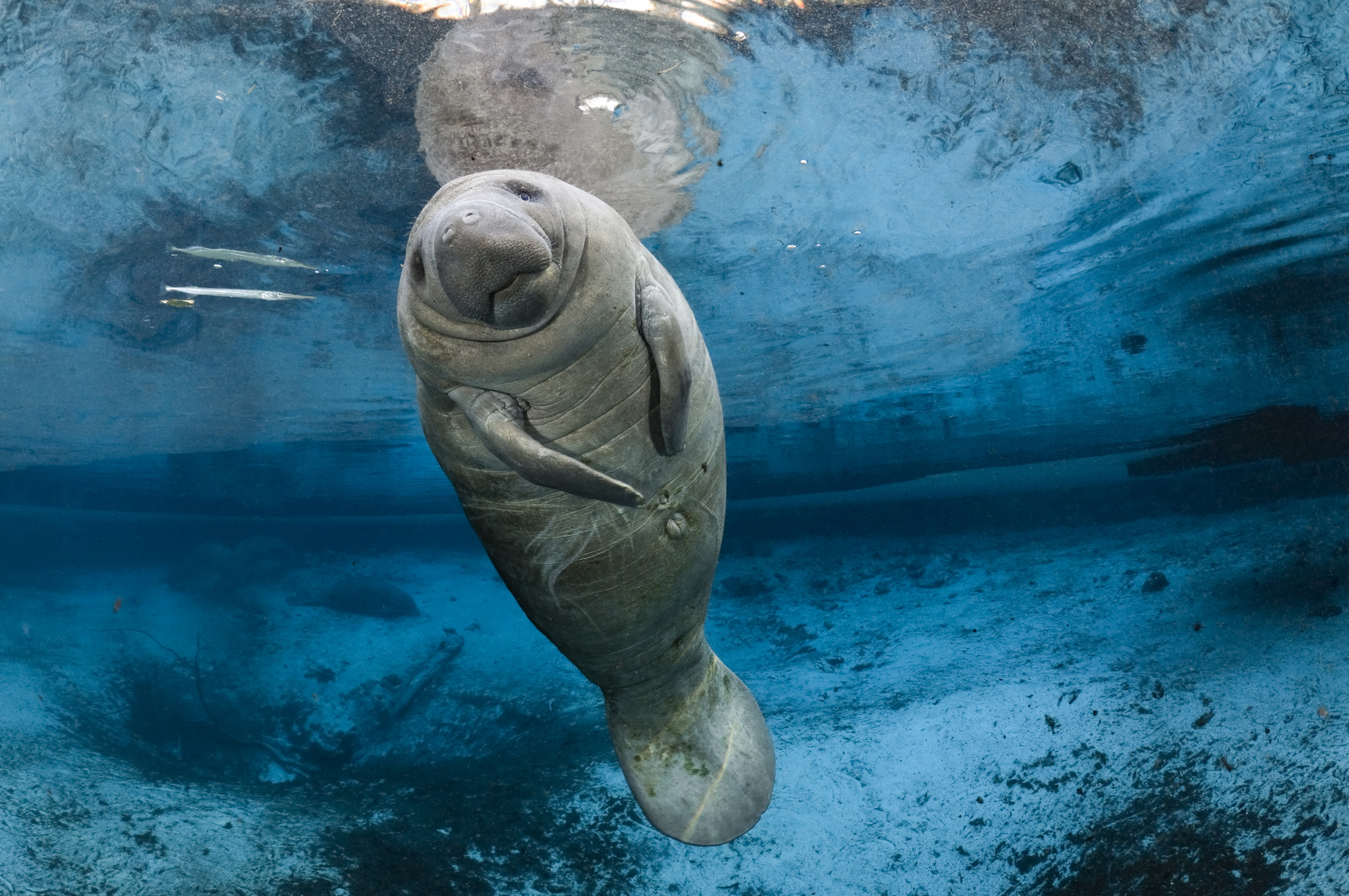 On one of the coldest Florida winter days in history, a young male Florida manatee calf floats and enjoys the warmth over a blue freshwater spring outflow.