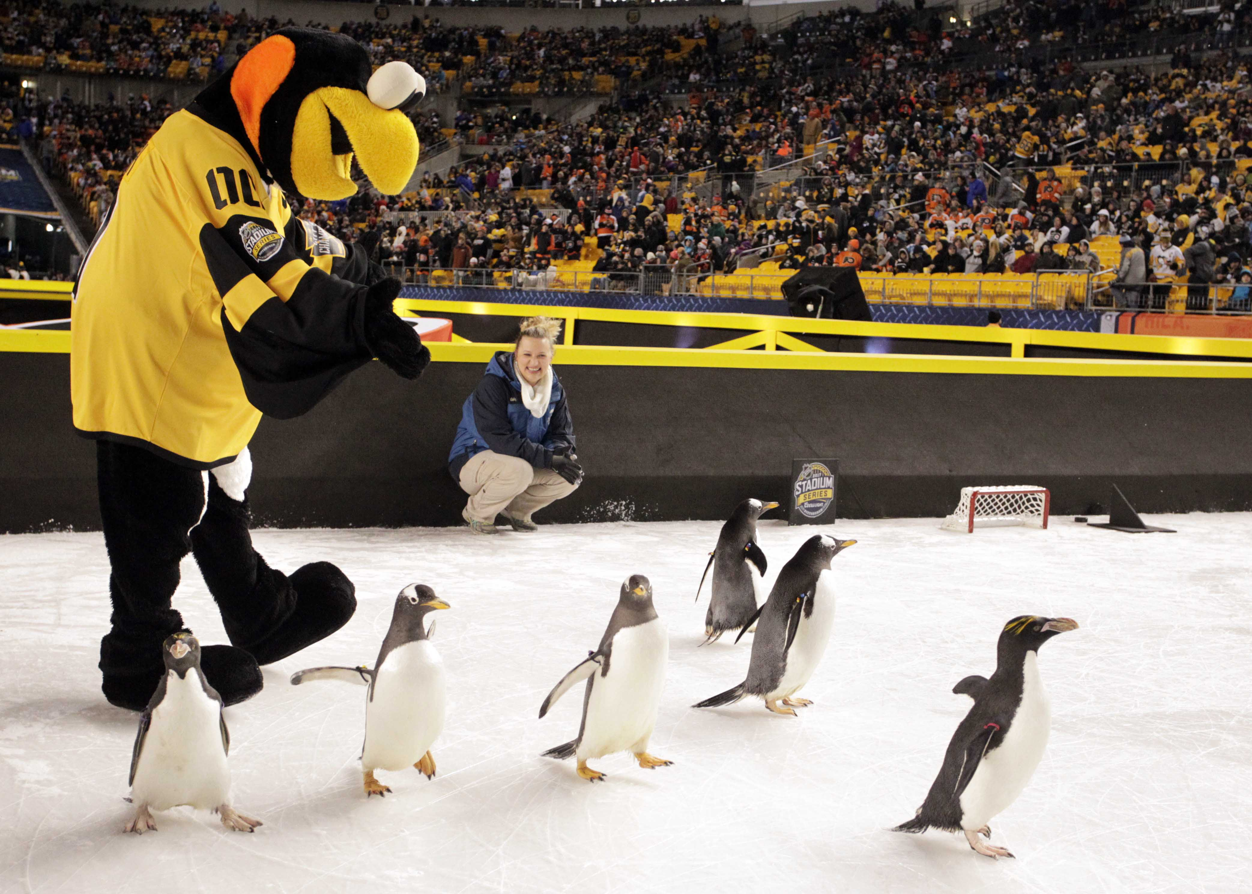 The Pittsburgh Penguins mascot plays with live penguins before the Pittsburgh Penguins host the Philadelphia Flyers in a Stadium Series hockey game at Heinz Field, on Feb 25, 2017.