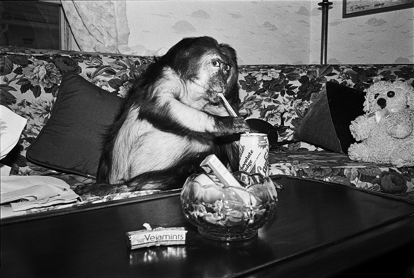 Minnie, 1989. Stump-tailed macaque, female, 13 years old.