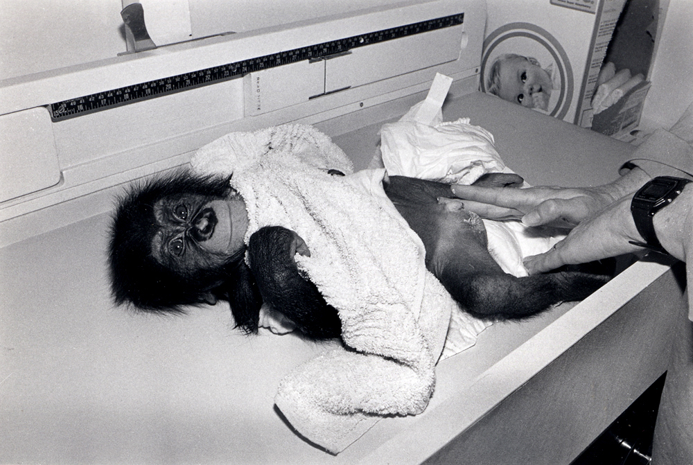 Gordo, 1989. Chimpanzee, male, 3 months old.