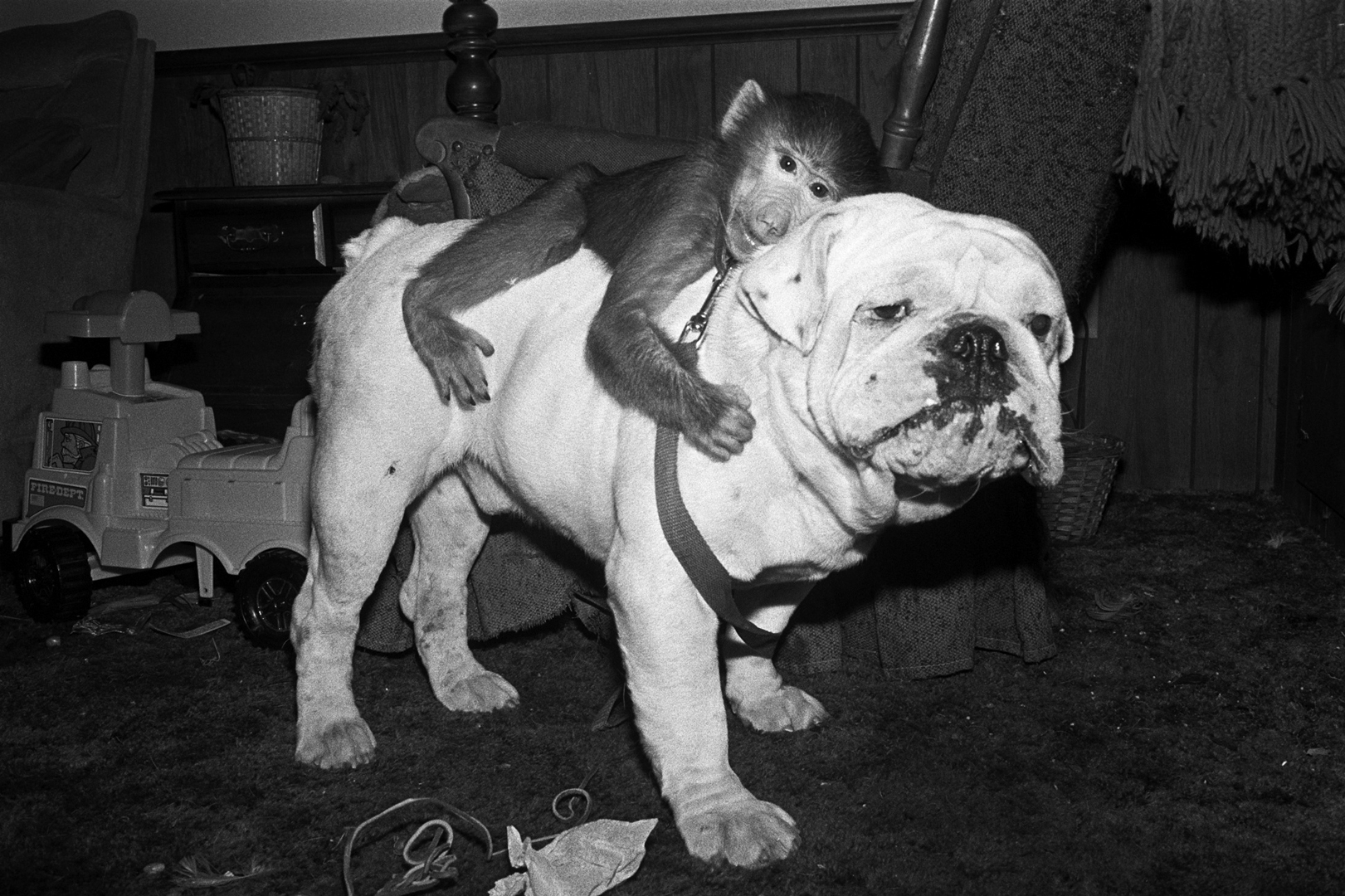 Jake and Mugs, 1990. Hamadrayas Baboon, male, 1 year old and                                 English bull dog, male, 4 years old.