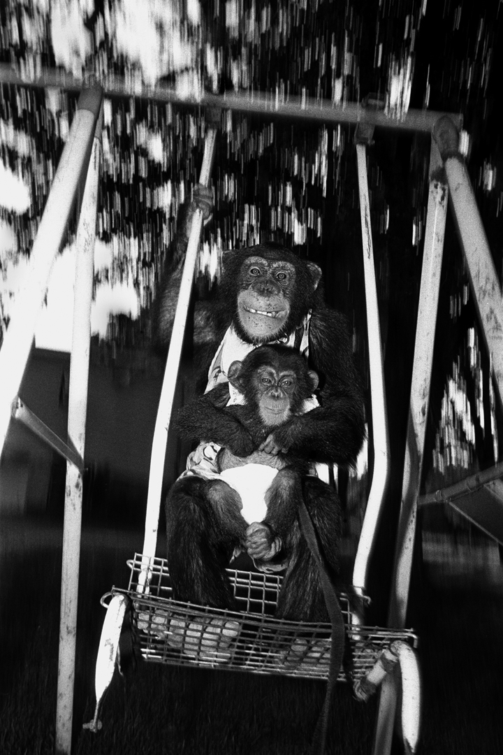 Angel and Casey, 1989. Chimpanzees, females, 7 years old and 6 months old.