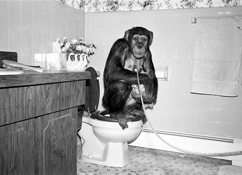 Katie, Chimpanzee, female, 7 years old.