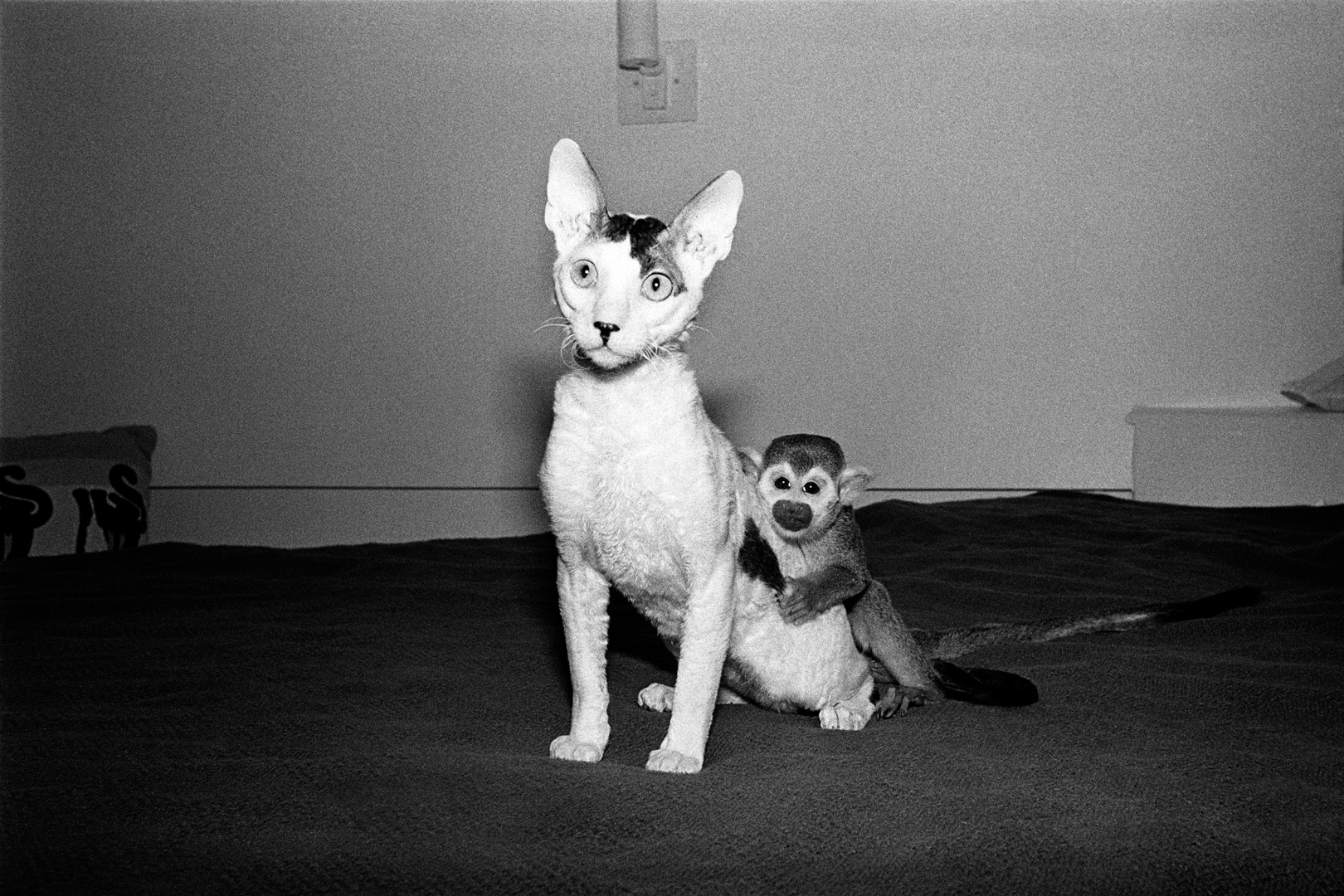 Wally and Spot, 1992. Squirrel monkey, male. 3 years old; and a Cornish rex kitten, male, 7 months old.