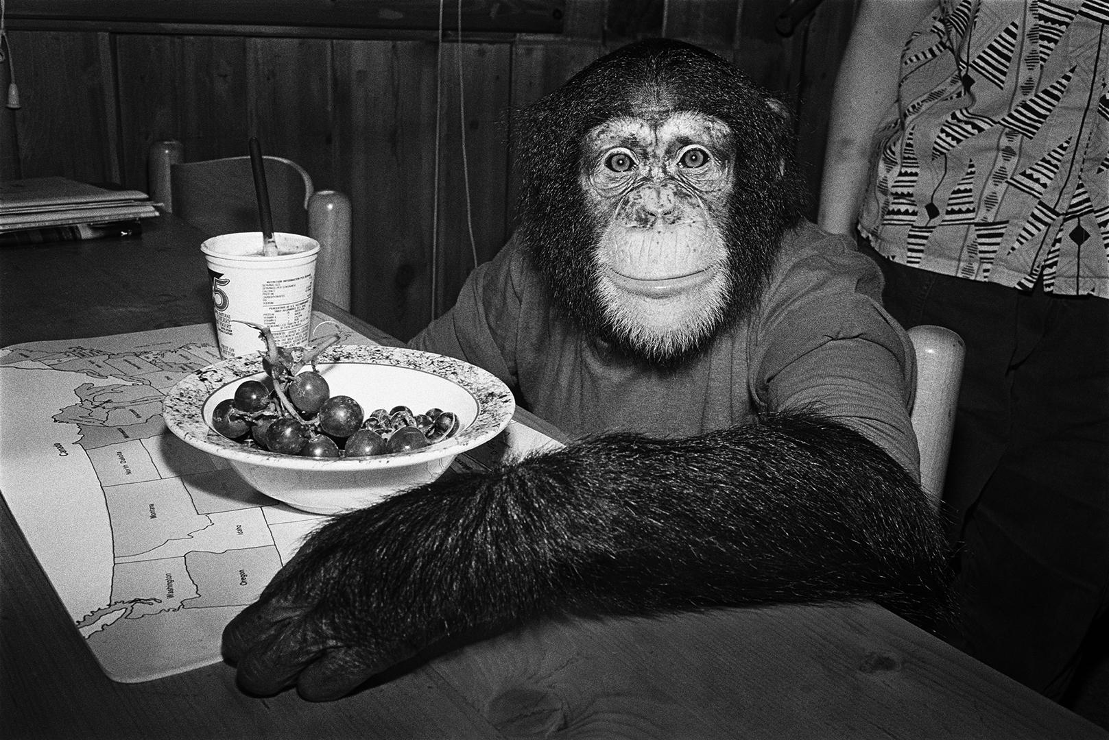 Charlie, 1988. Chimpanzee, female, 5 years old.
