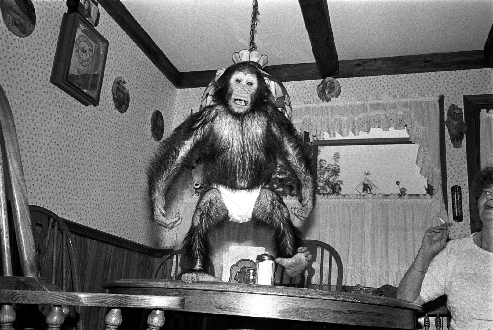Maria, 1988. Chimpanzee, female, 2 years old.