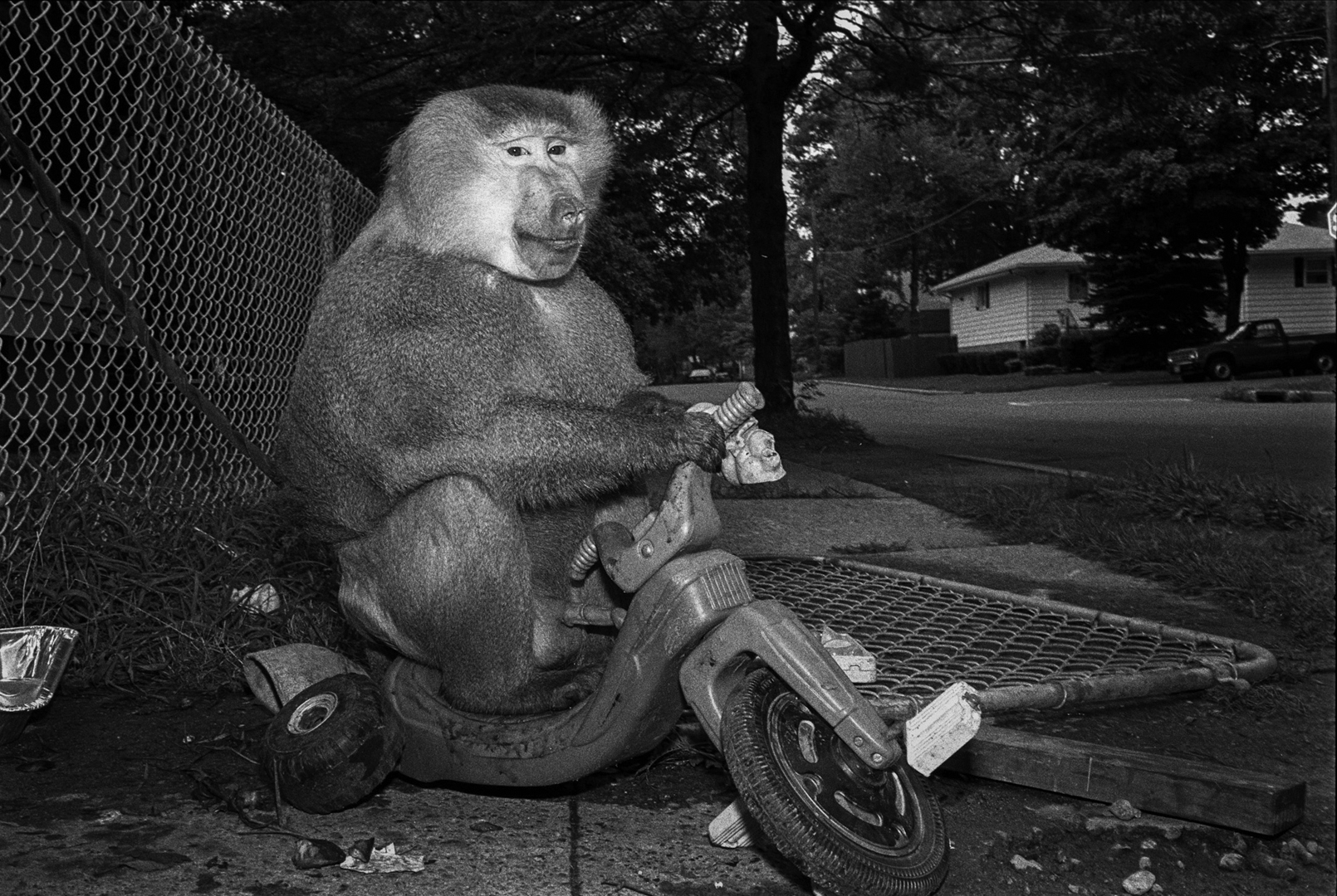Pete, 1989. Hamadryas baboon, male, 5 years old.