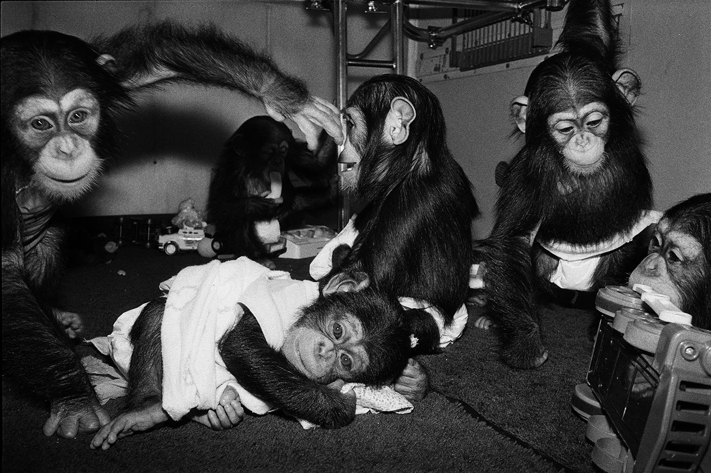 Josh, Hermonie, Alexis, Rene and Ewok, 1988. Chimpanzees, all under 1 year old.