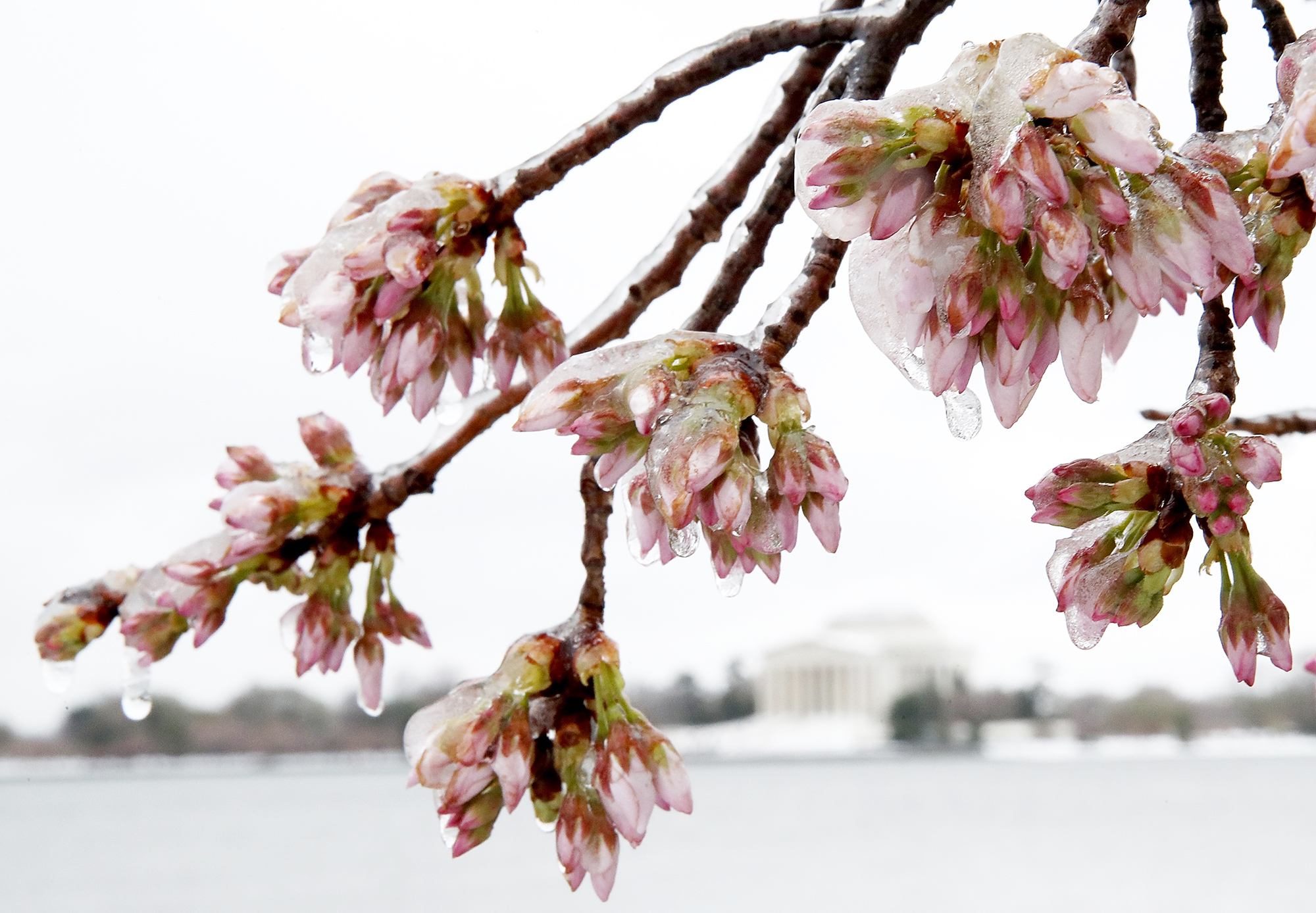 Ice covers cherry blossoms near the Jefferson Memorial in Washington, D.C., on March 14, 2017.