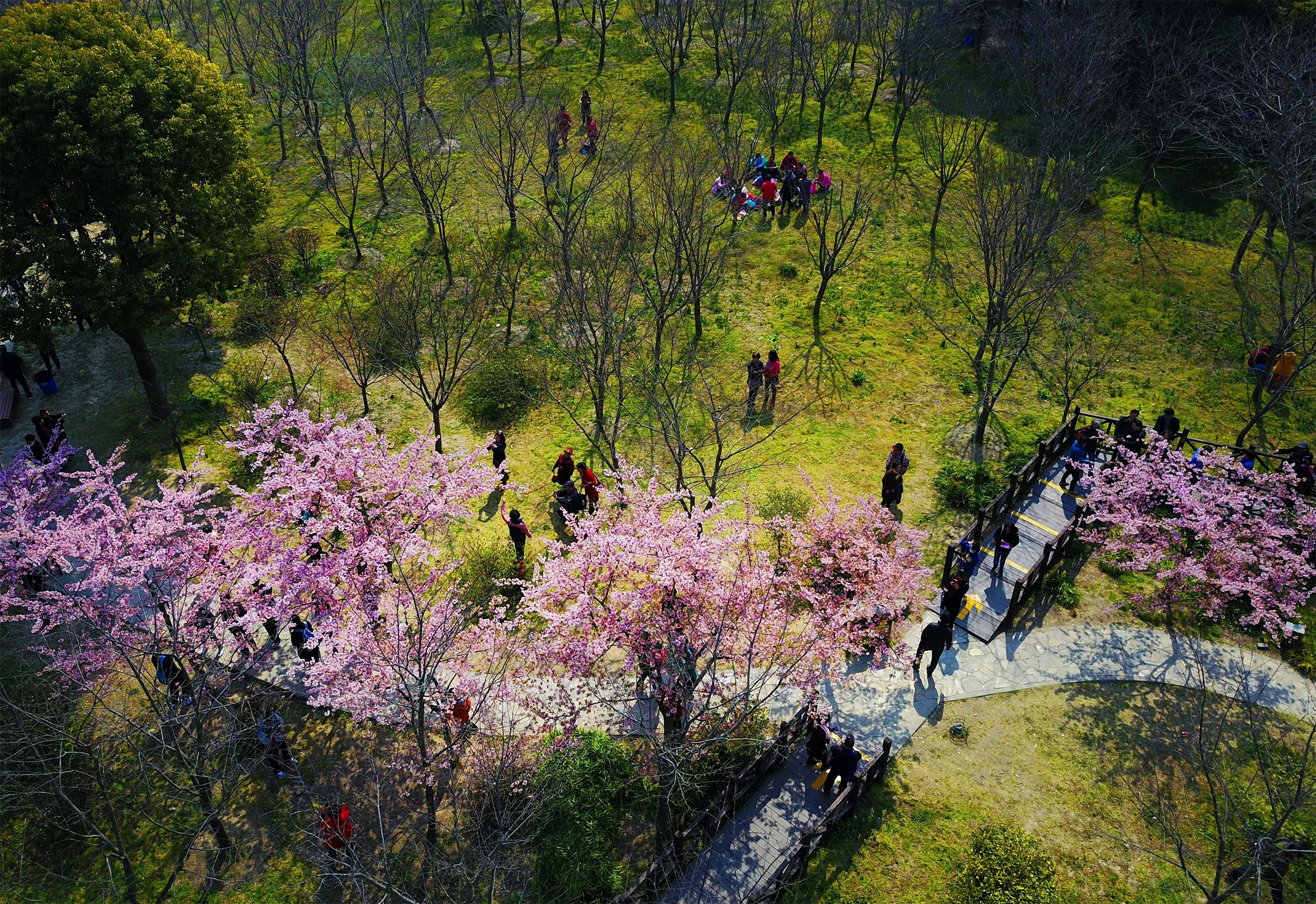 Visitors flock to Gucun Park to view blooming cherry blossoms in Shanghai, on March 8th, 2017. The 7th Cherry Blossom Festival will be held at Gucun Park from March 15th to April 14th, 2017.