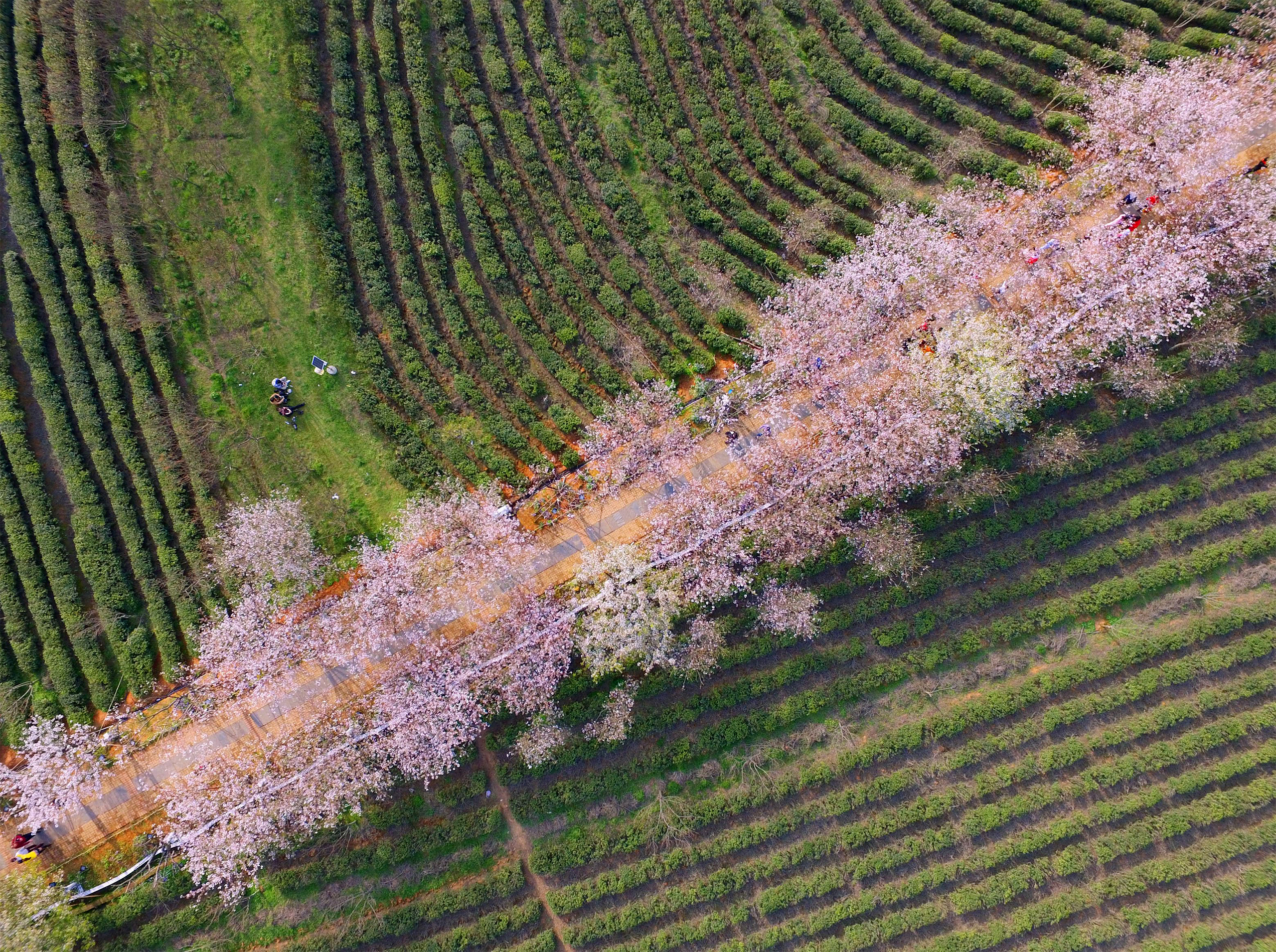 A photo taken on March 26, 2017 shows an aerial view of cherry blossoms in Fenghuanggou Scenic Spot of Nanchang County, east China's Jiangxi Province.