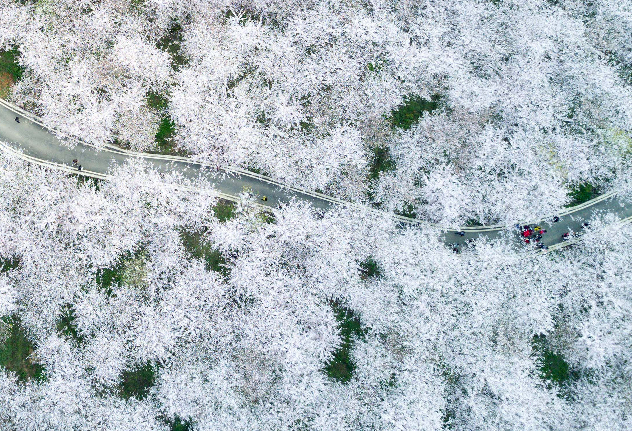 A photo taken on March 27, 2017 shows the aerial view of the cherry blossoms in Gui'an, southwest China's Guizhou Province.