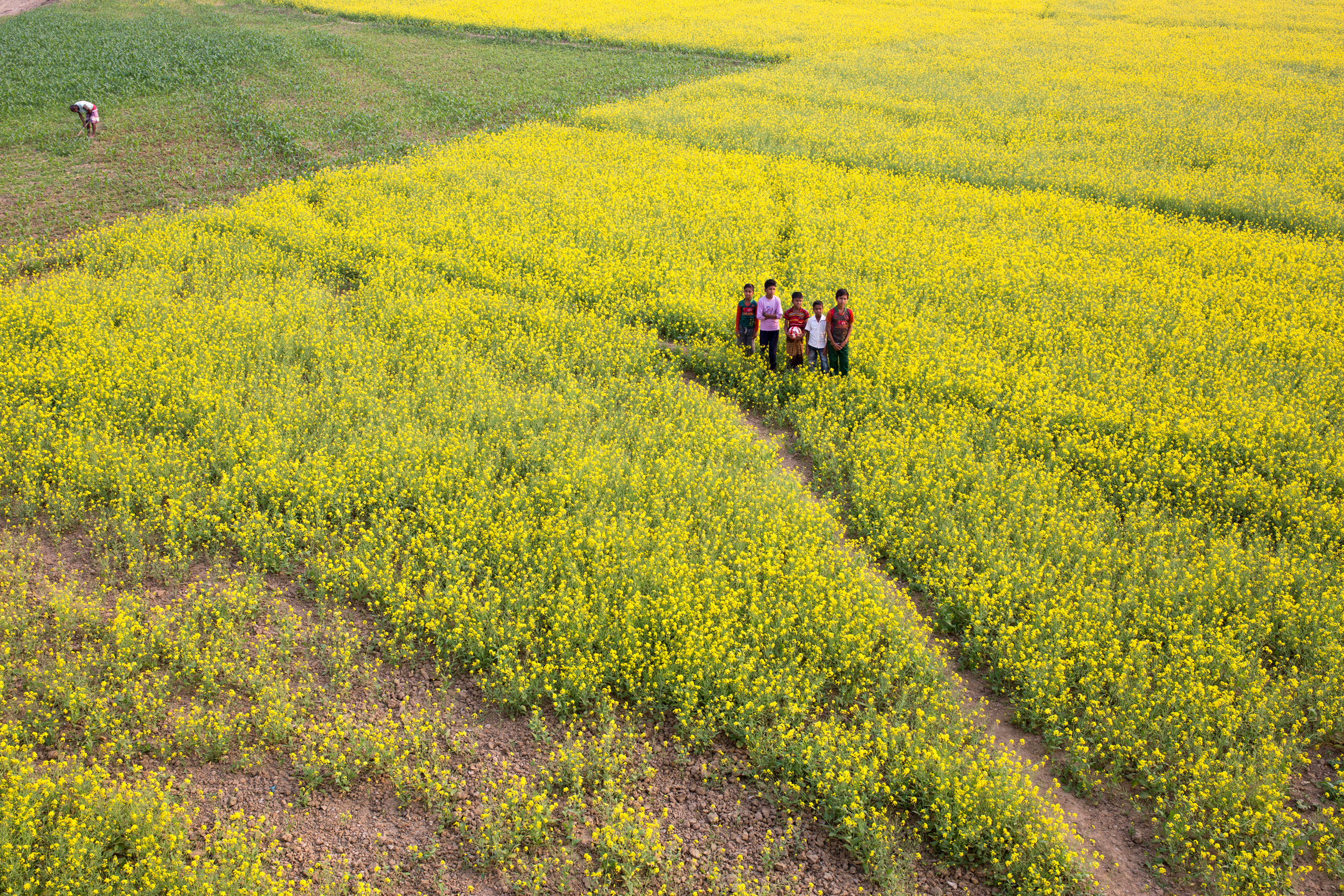 Children seen playing on a mustard field in Manikgonj, Bangladesh on Jan. 8, 2017.