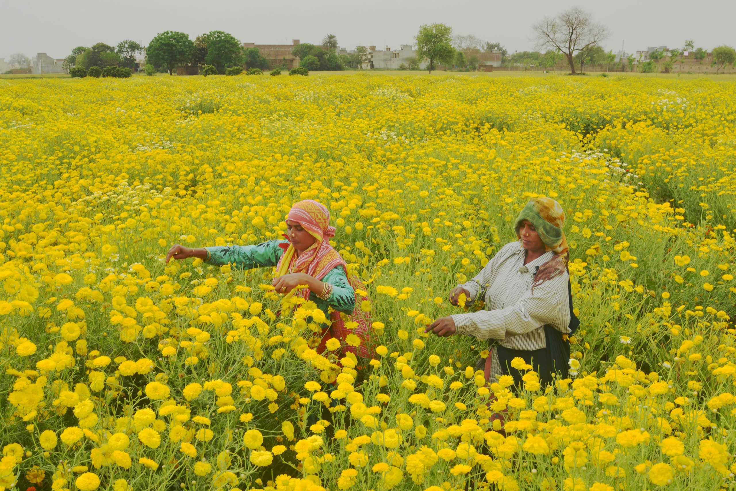 Indian laborers pick golden marguerite, or yellow chamomile, flowers in a field on the outskirts of Amritsar on April 6, 2017.