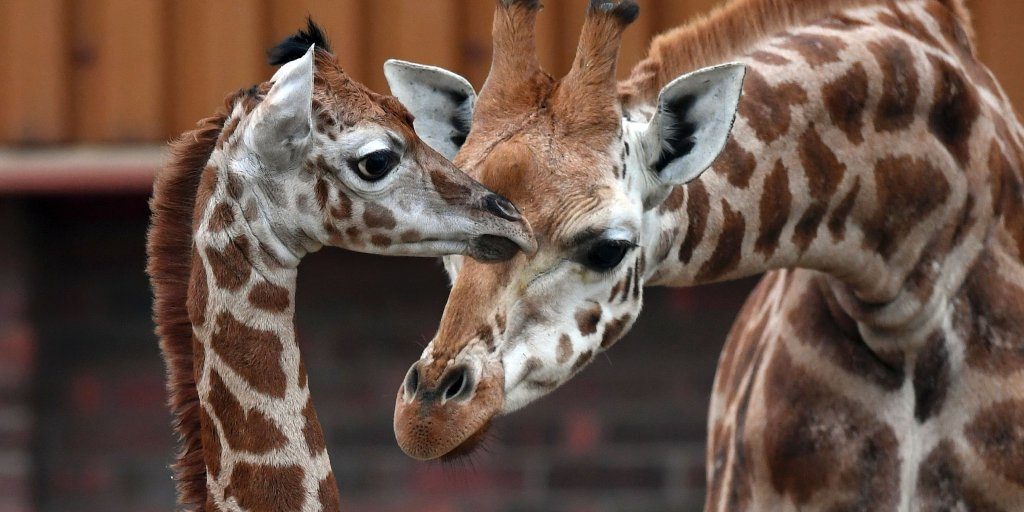 Giraffes Advocates Push For Inclusion On Endangered List Time