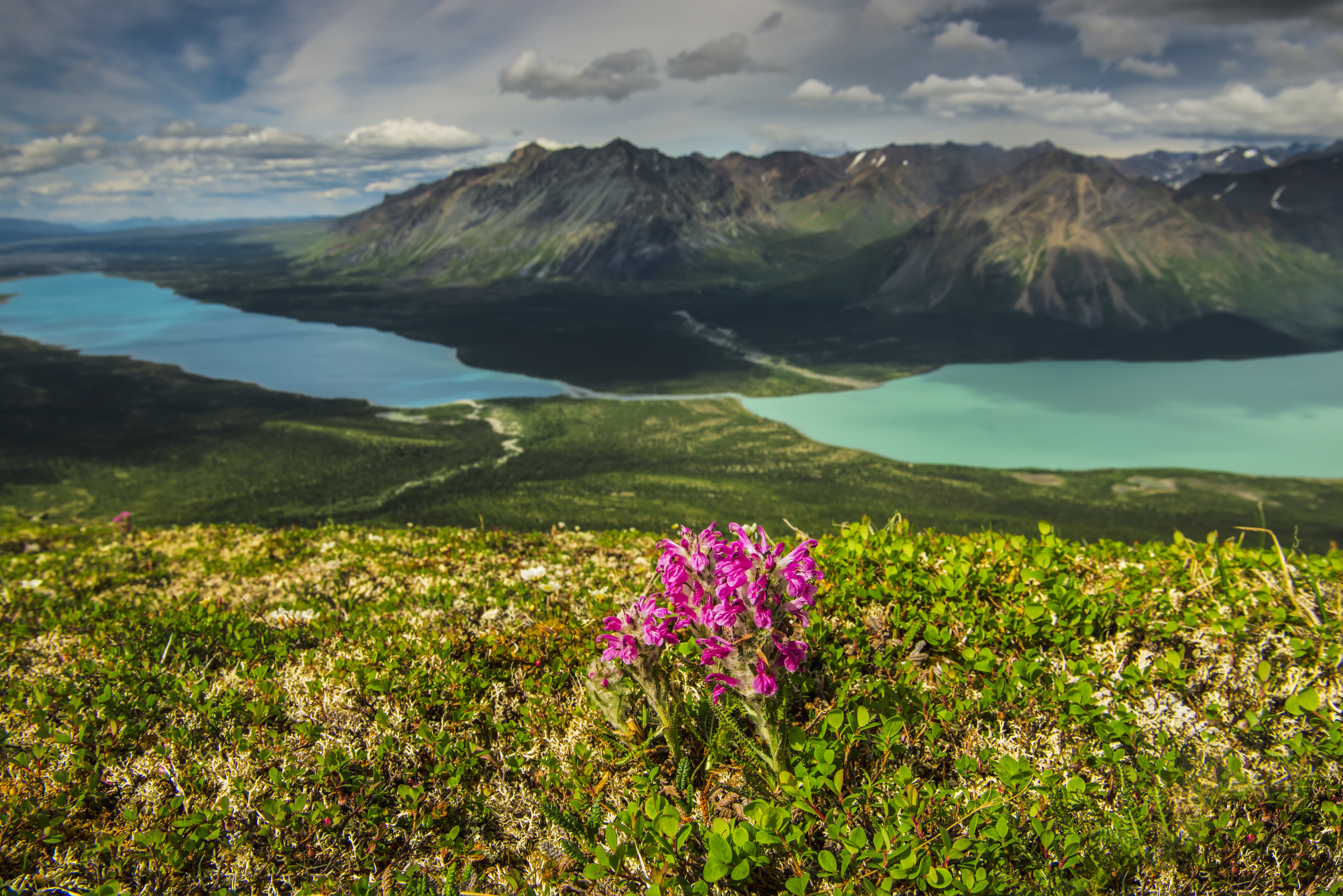 A patch of Wooly Lousewort on a ridge above Twin Lakes in Lake Clark National Park & Preserve, Southcentral Alaska, summer