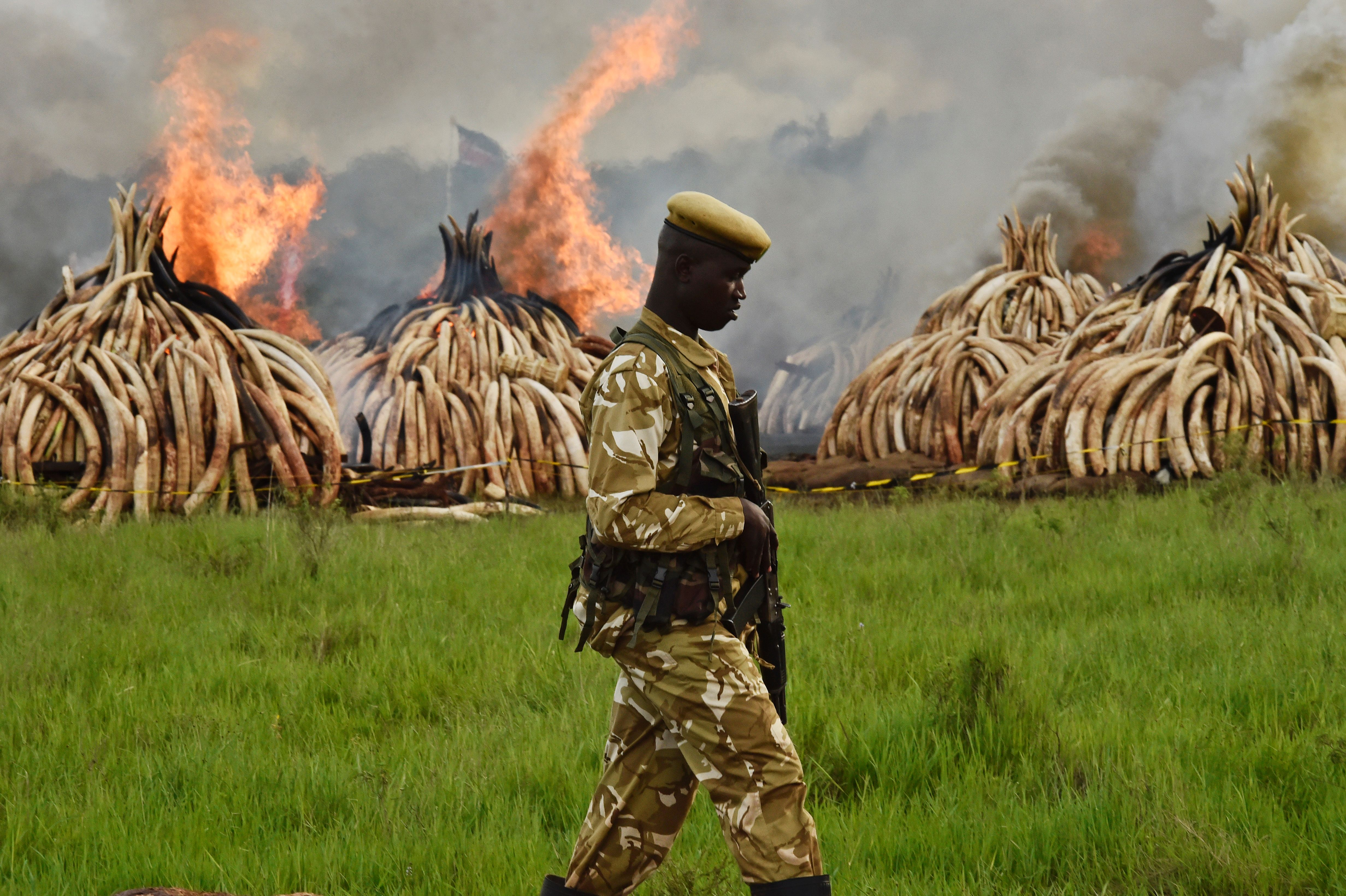 A Kenya Wildlife Services (KWS) ranger stands guard around illegal stockpiles of burning elephant tusks, ivory figurines and rhinoceros horns at the Nairobi National Park in April 2016.