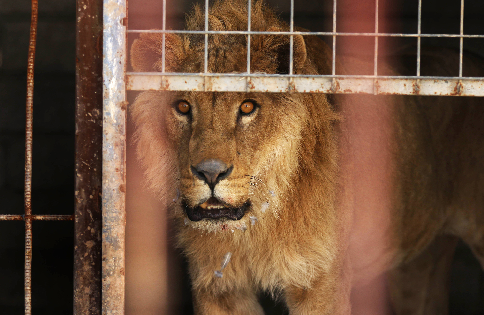 An abandoned lion, Simba, stands in its cage before receiving treatment from members of the international animal welfare charity  Four Paws  at the Muntazah al-Nour zoo in eastern Mosul, on Feb. 21, 2017.