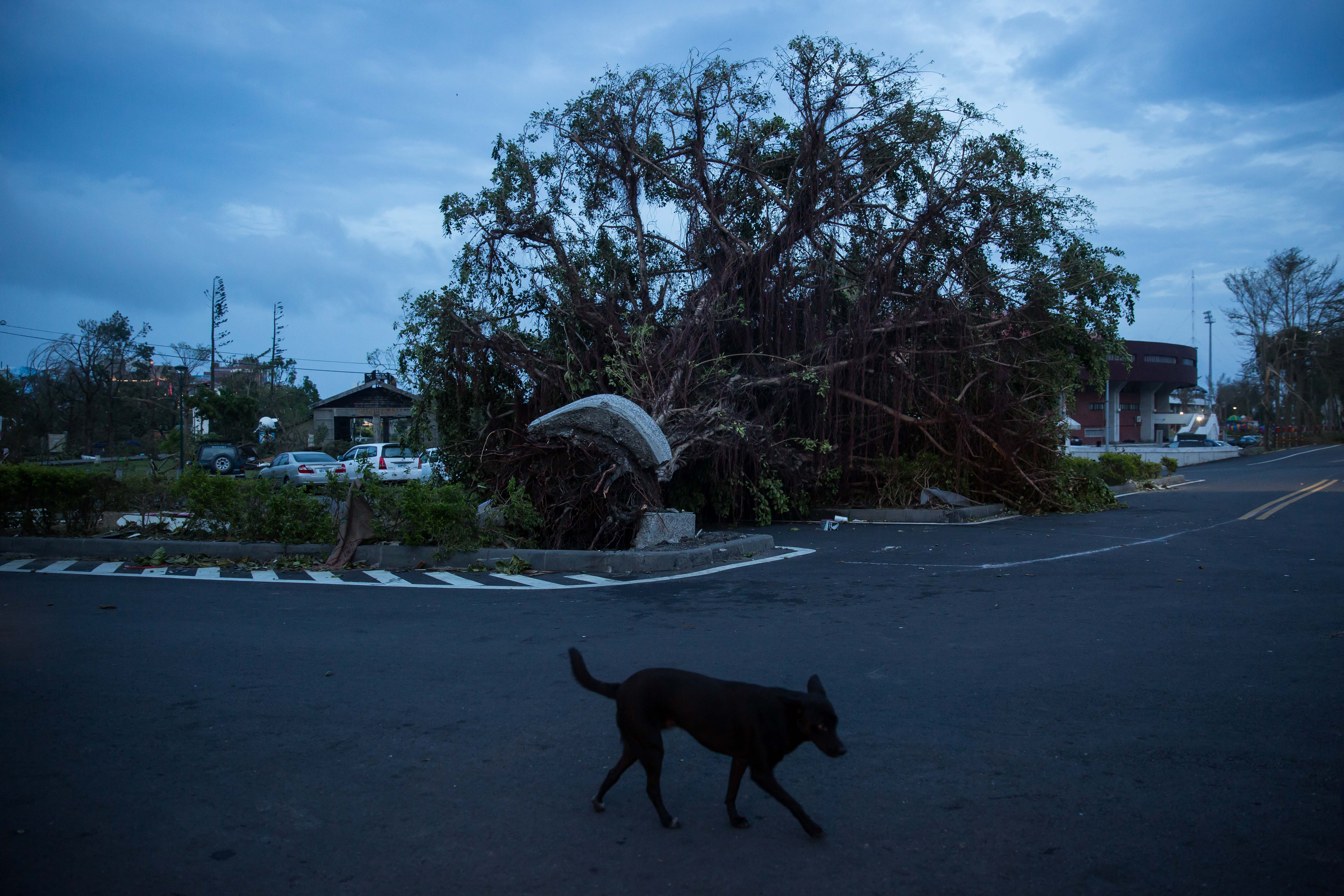 A dog walks past uprooted trees damaged by Typhoon Nepartak on July 9, 2016 in Taitung, Taiwan.