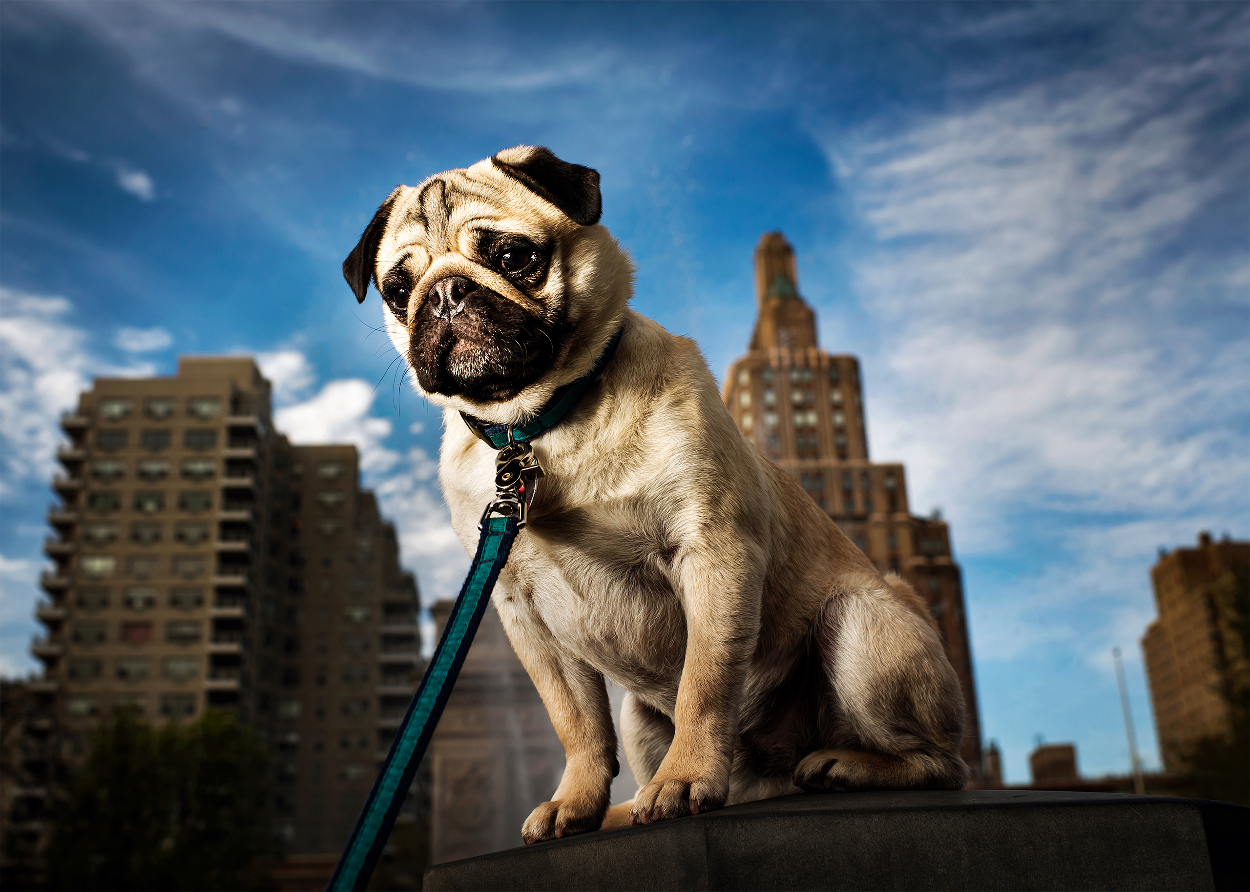 Bucky, a 1 1/2 year old Pug photographed in New York, NY on April 23, 2017.