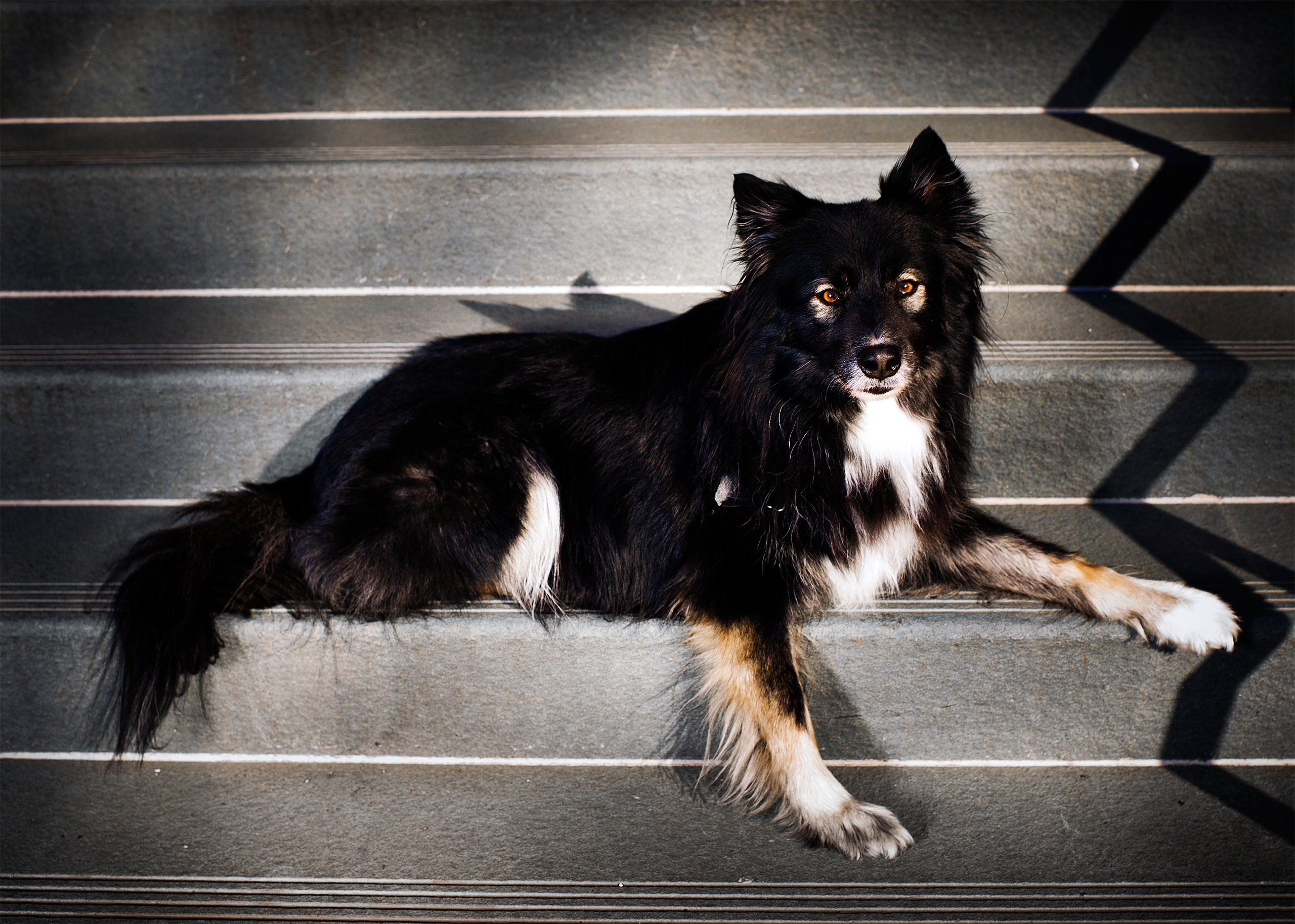 Scorch, a 9-year old Border Collie photographed in New York, NY on April 17, 2017.