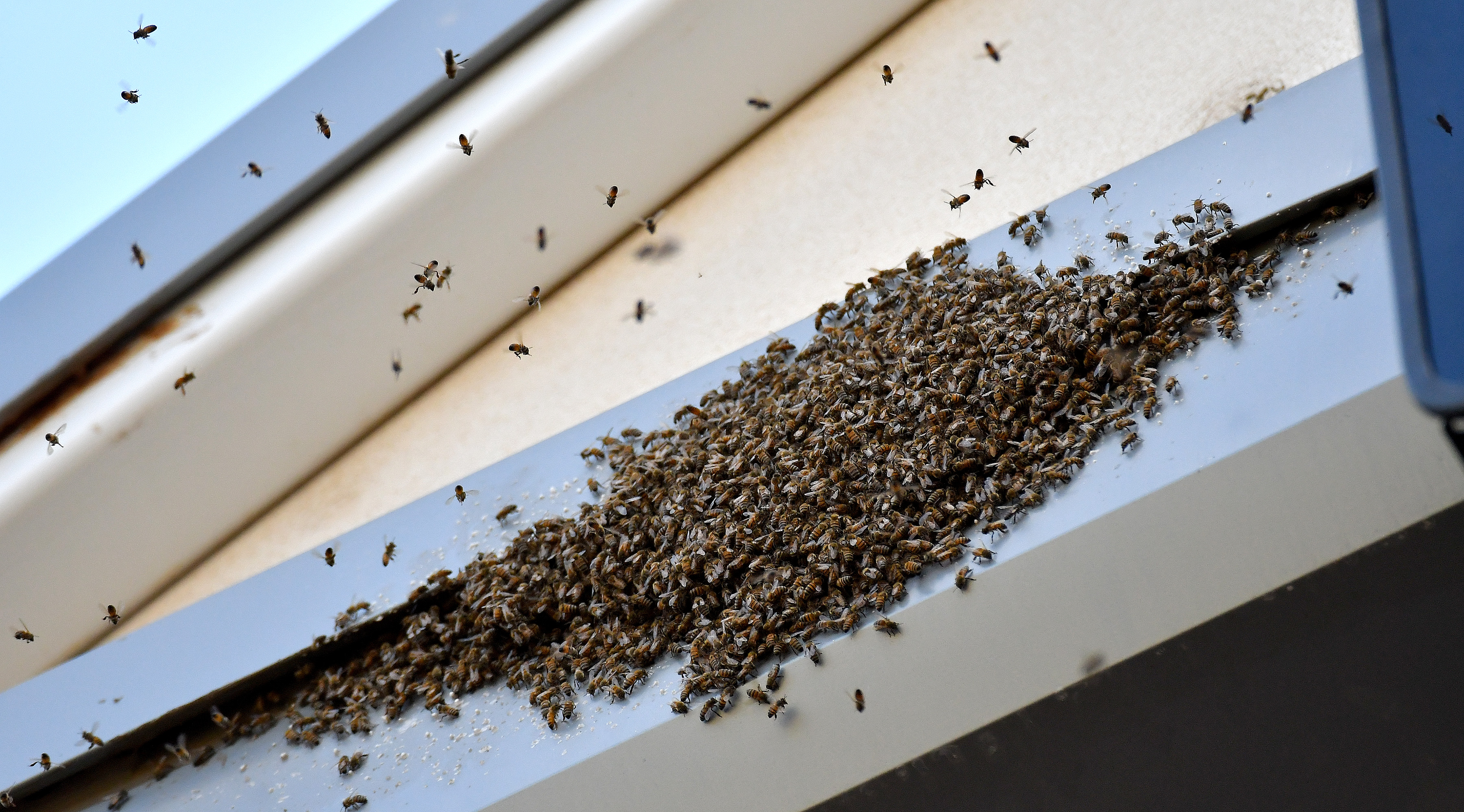 A swarm of bees gathers above the press box during during a spring training game between the Milwaukee Brewers and Kansas City Royals in Surprise, Ariz., on Saturday, March 25, 2017. (John Sleezer/Kansas City Star/TNS via Getty Images)