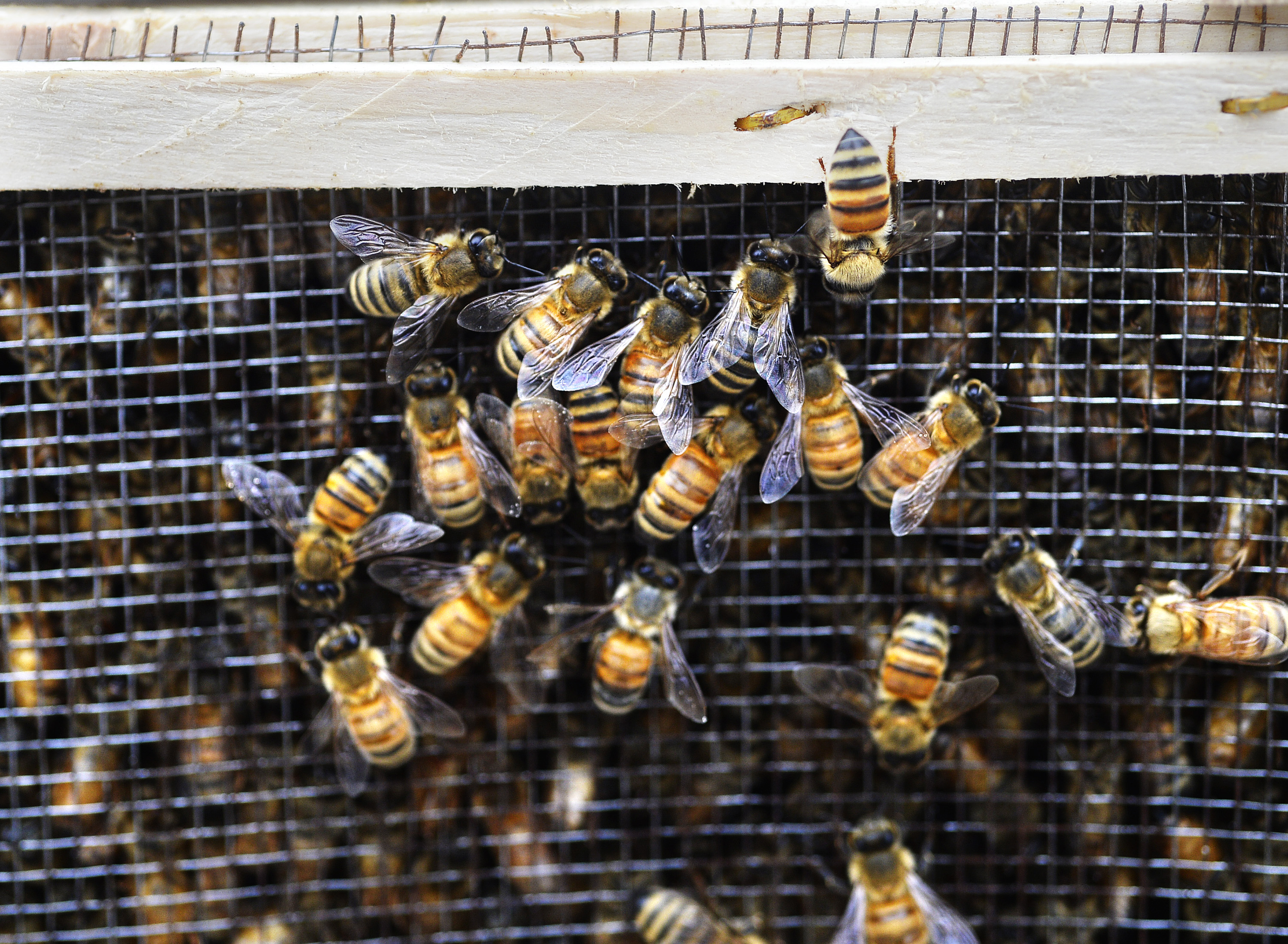 Bees at the Route 1 visitors center in Yarmouth on April 28, 2017.