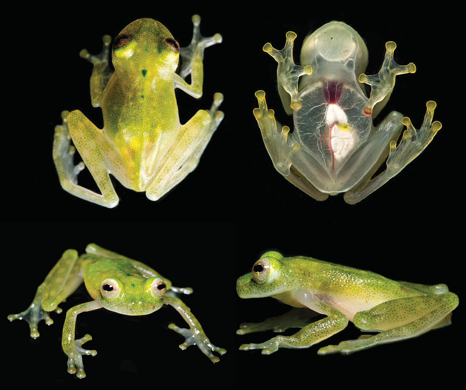 Have a look: The transparent Hyalinobatrachium yaku frog