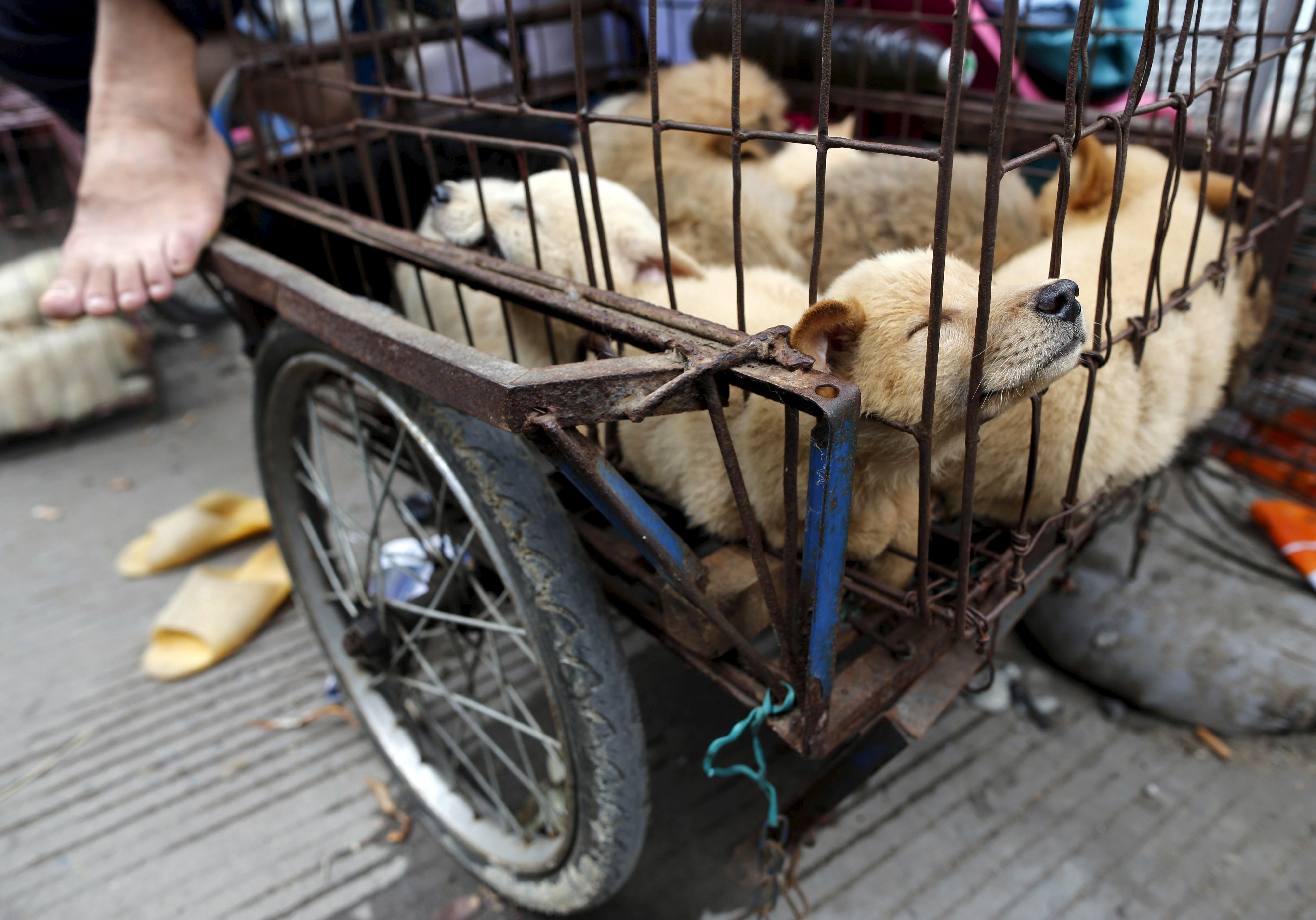 Dogs for sale in Dashichang dog market on the day of local dog meat festival in Yulin, Guangxi Autonomous Region, June 22, 2015.