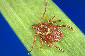 The American dog tick can spread Rocky Mountain spotted fever and is common in the area, as well as parts of California.