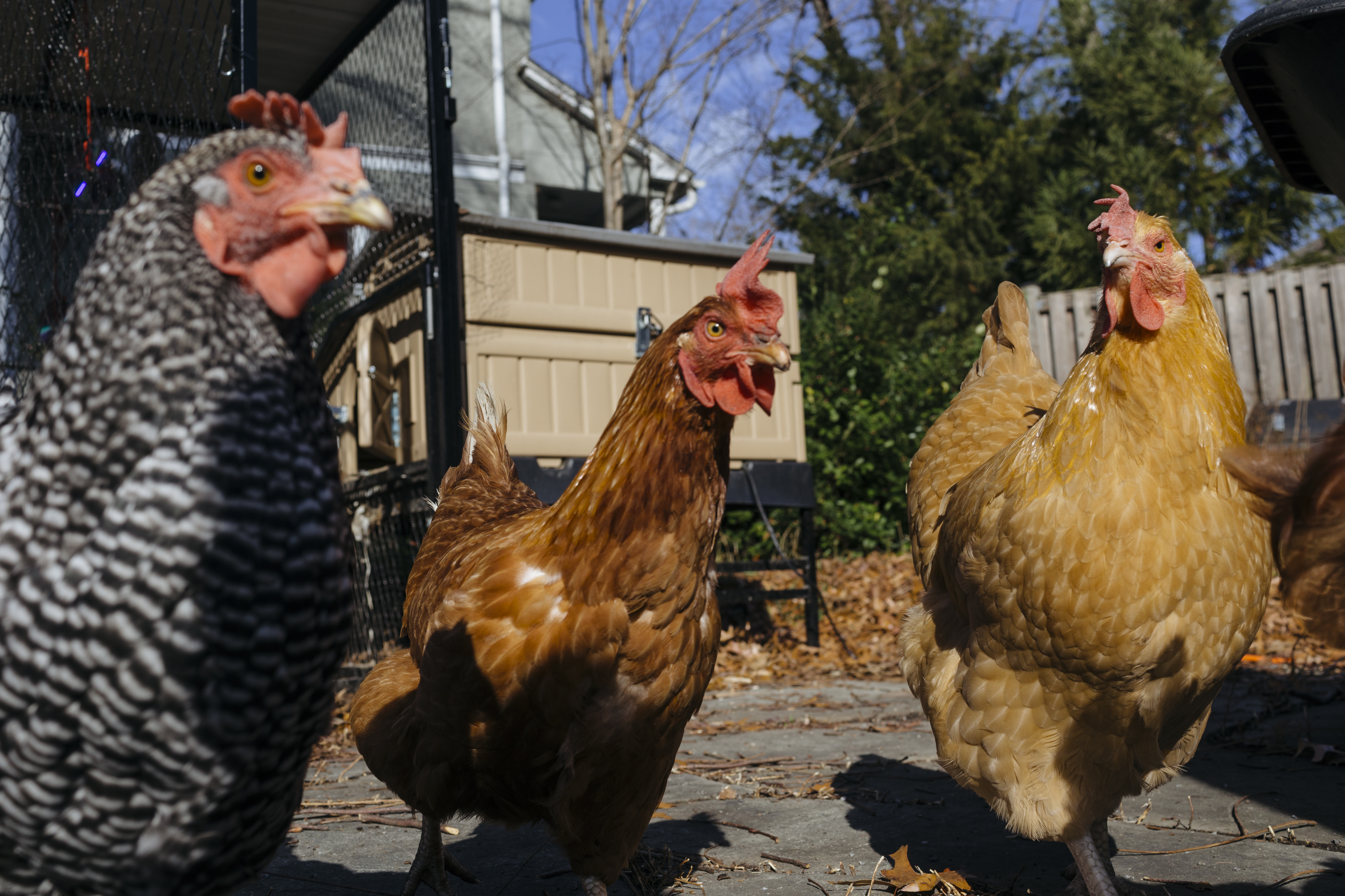 Mark Vershell and his backyard chickens in Takoma Park, Md.