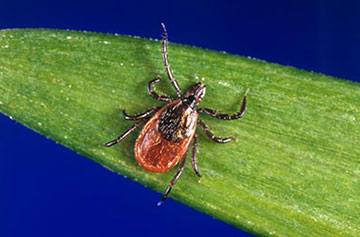 The blacklegged tick, or the deer tick, is mostly found in the Northeast and Midwest and is a major source of Lyme disease