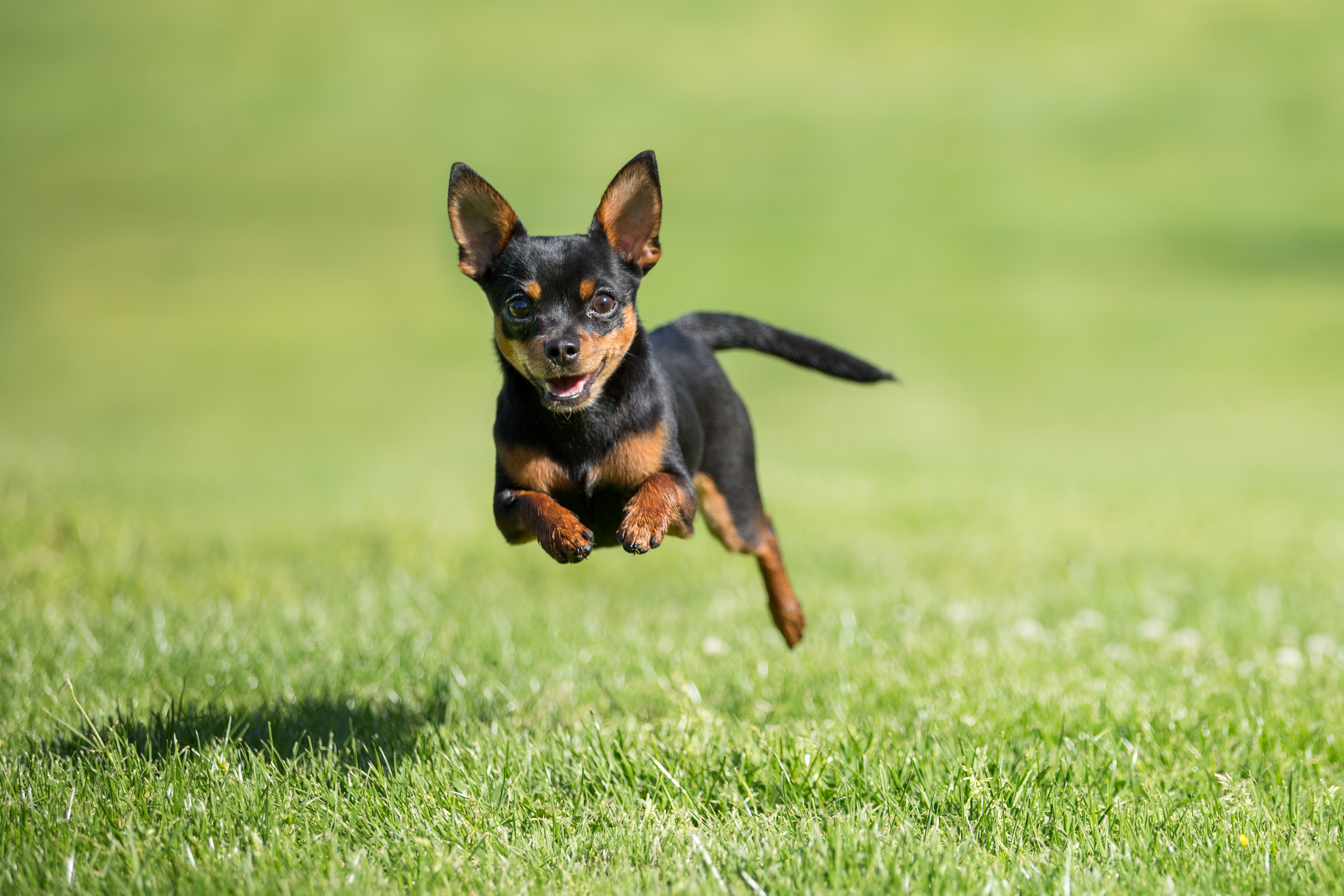 A happy Chihuahua dog leaps over short grass on a sunny day.