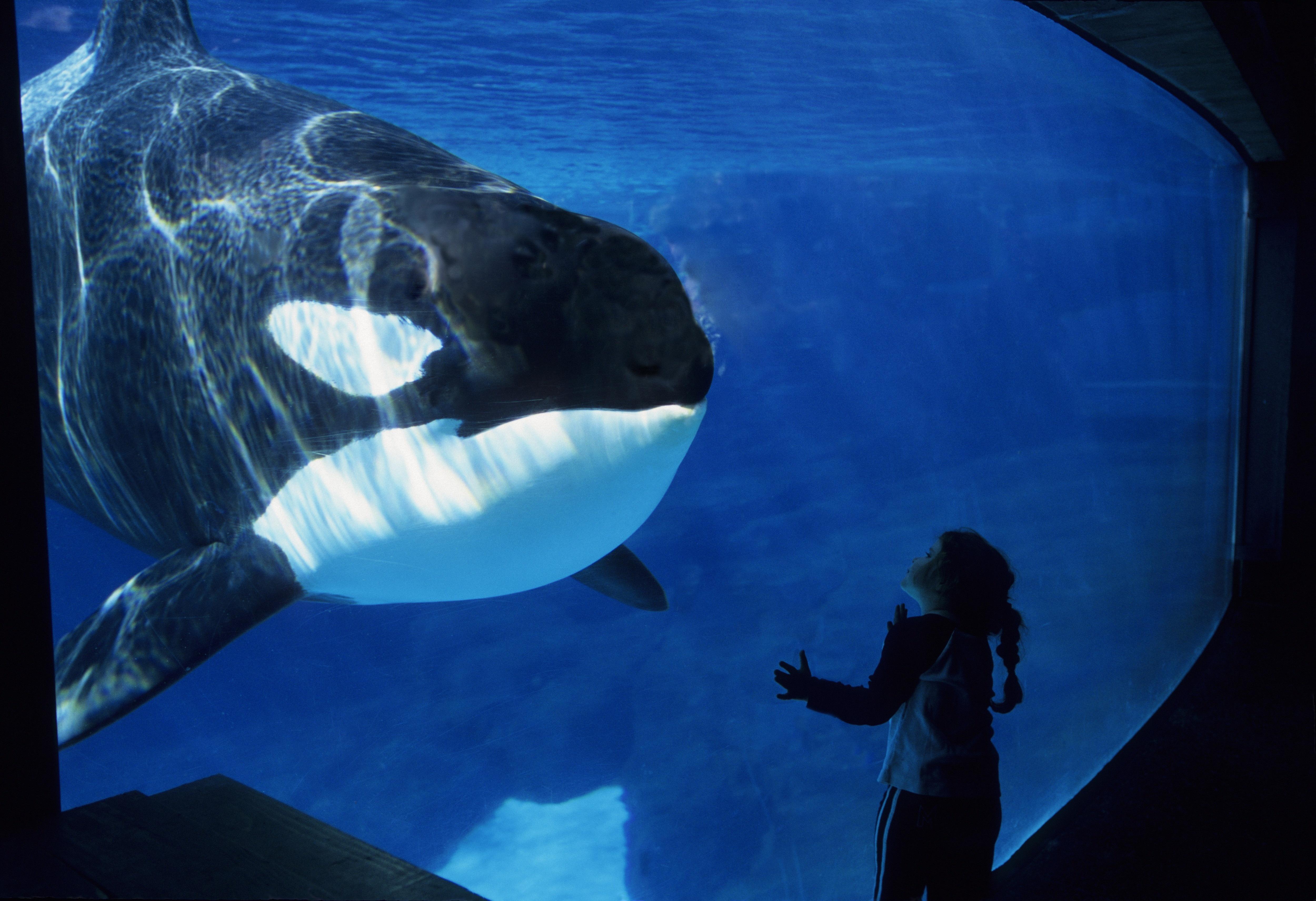 USA, California, San Diego, Sea World, Killer Whale (orca) Underwater, Girl, 2006.