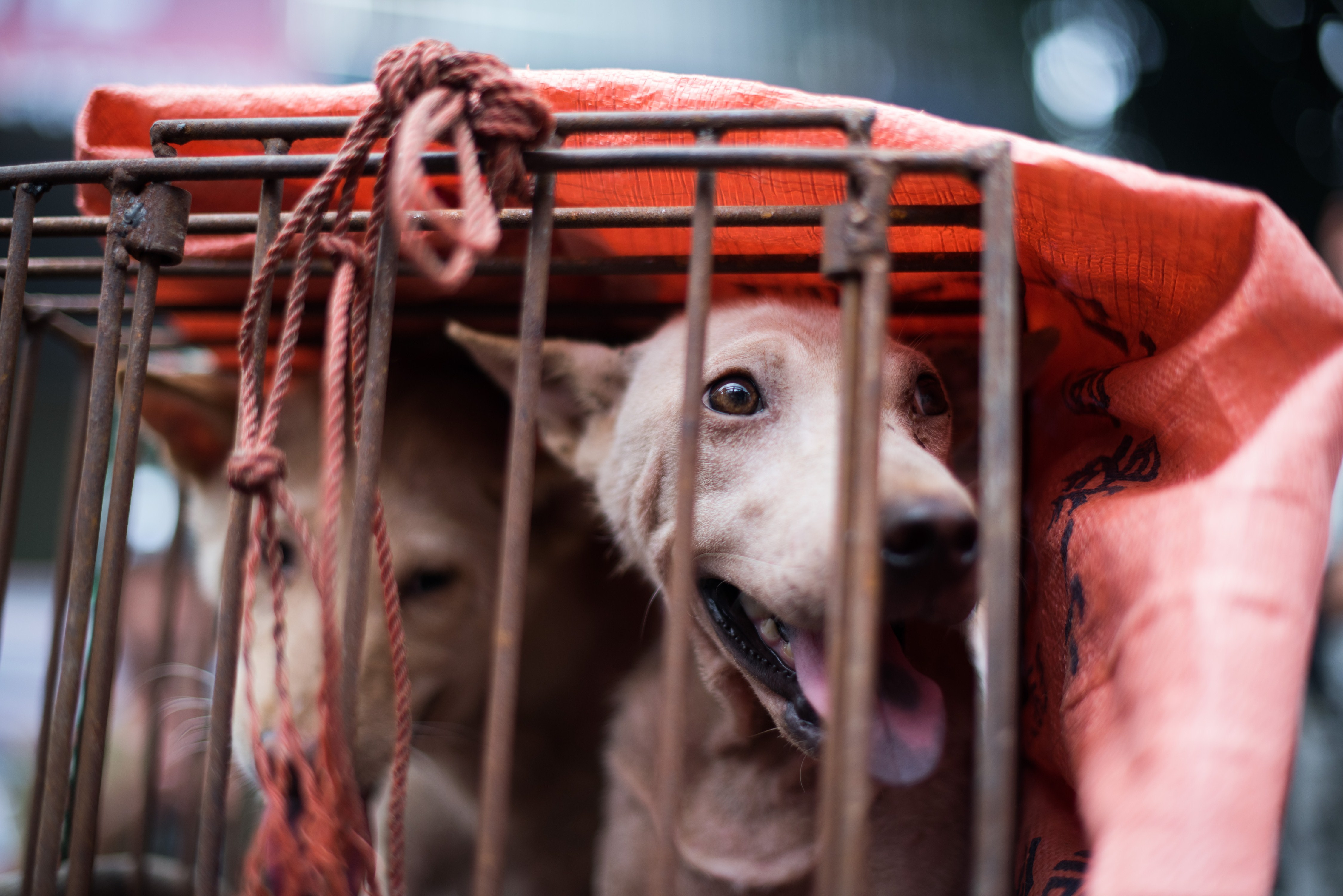 A dog looks out from its cage at a dog meat festival at a market in Yulin, in southern China on June 22, 2015.