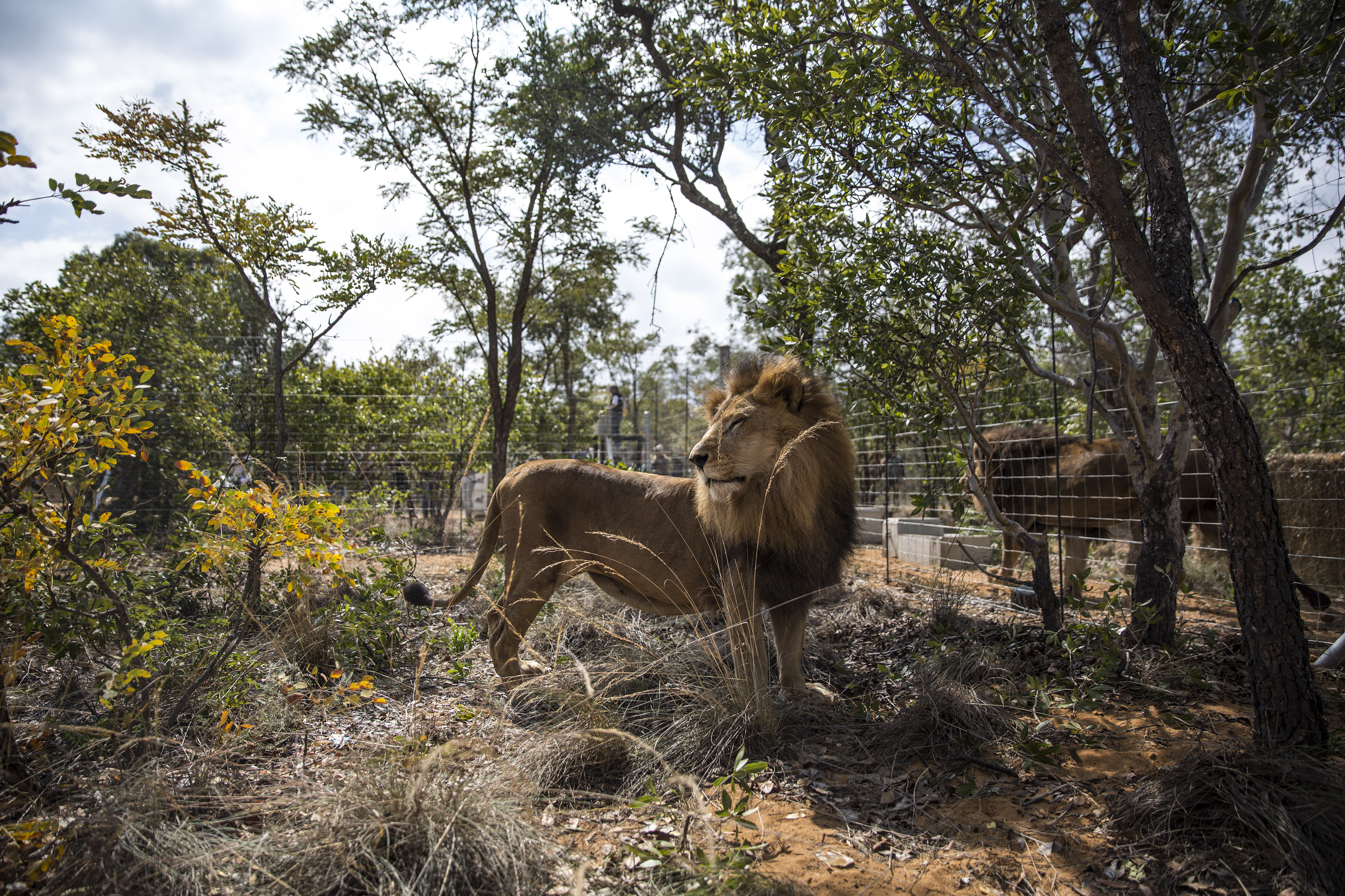 One of the 33 Lions enjoys his new enclosure at the Emoya  Big Cat Sanctuary', on May 01, 2016 in Vaalwater, South Africa. A total of 33 former circus Lions, 22 males and 11 females from Peru and Columbia were airlifted to South Africa yesterday, before being released today to live out their lives on the private reserve in the Limpopo Province. 24 of the animals were rescued in raids on circuses operating in Peru, with the rest voluntarily surrendered by a circus in Colombia after Colombias Congress passed a bill prohibiting circuses from using wild animals.