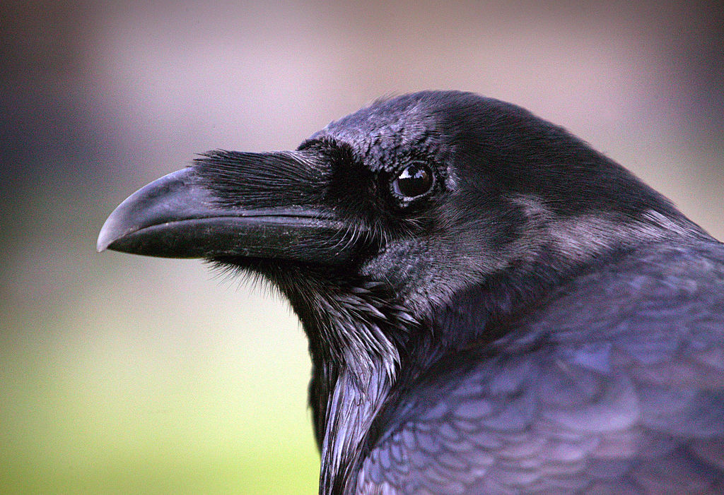 A raven is seen at the Tower of London, Oct. 20, 2005.