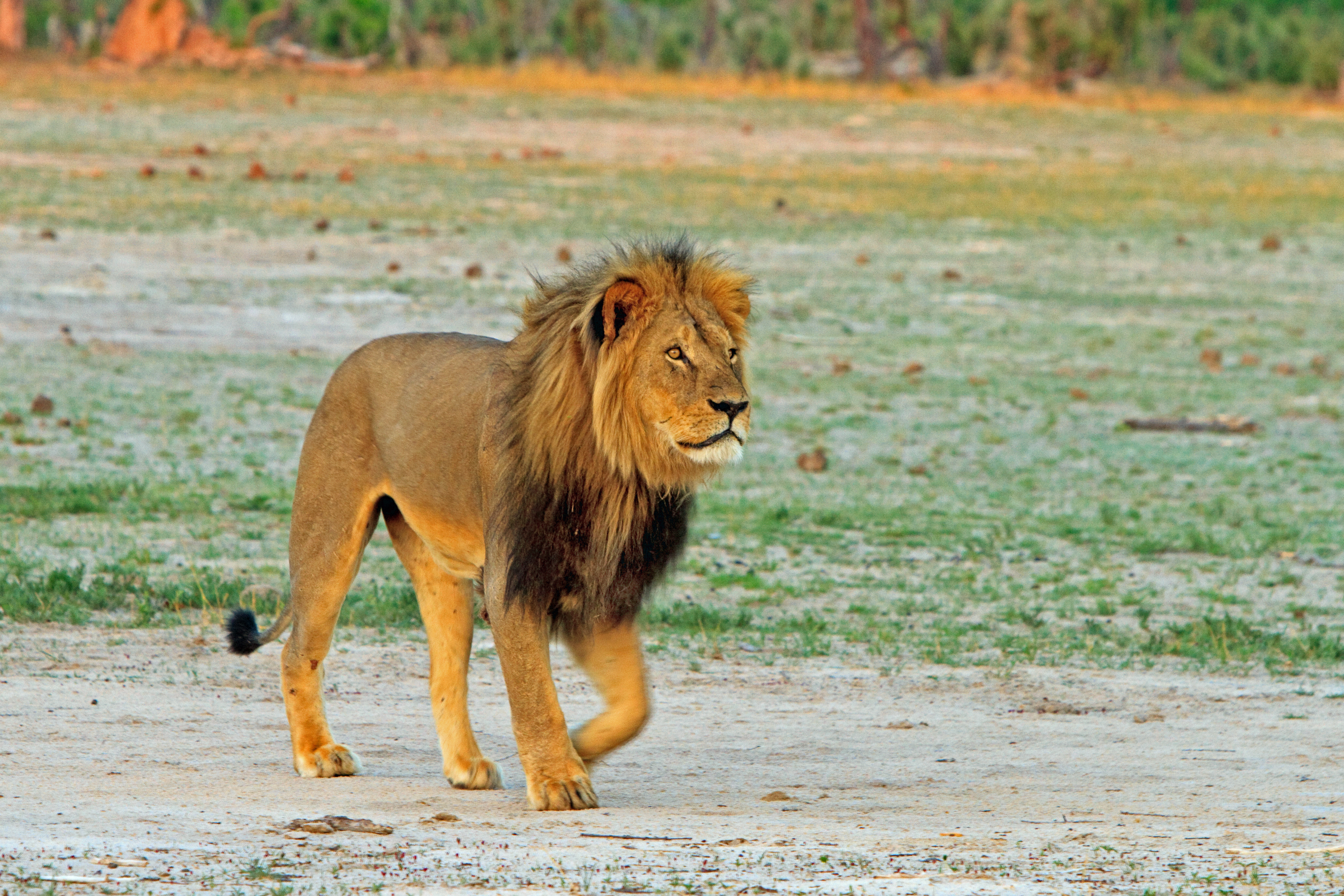 A male lion walking in a field in Hwange National Park, Zimbabwe.