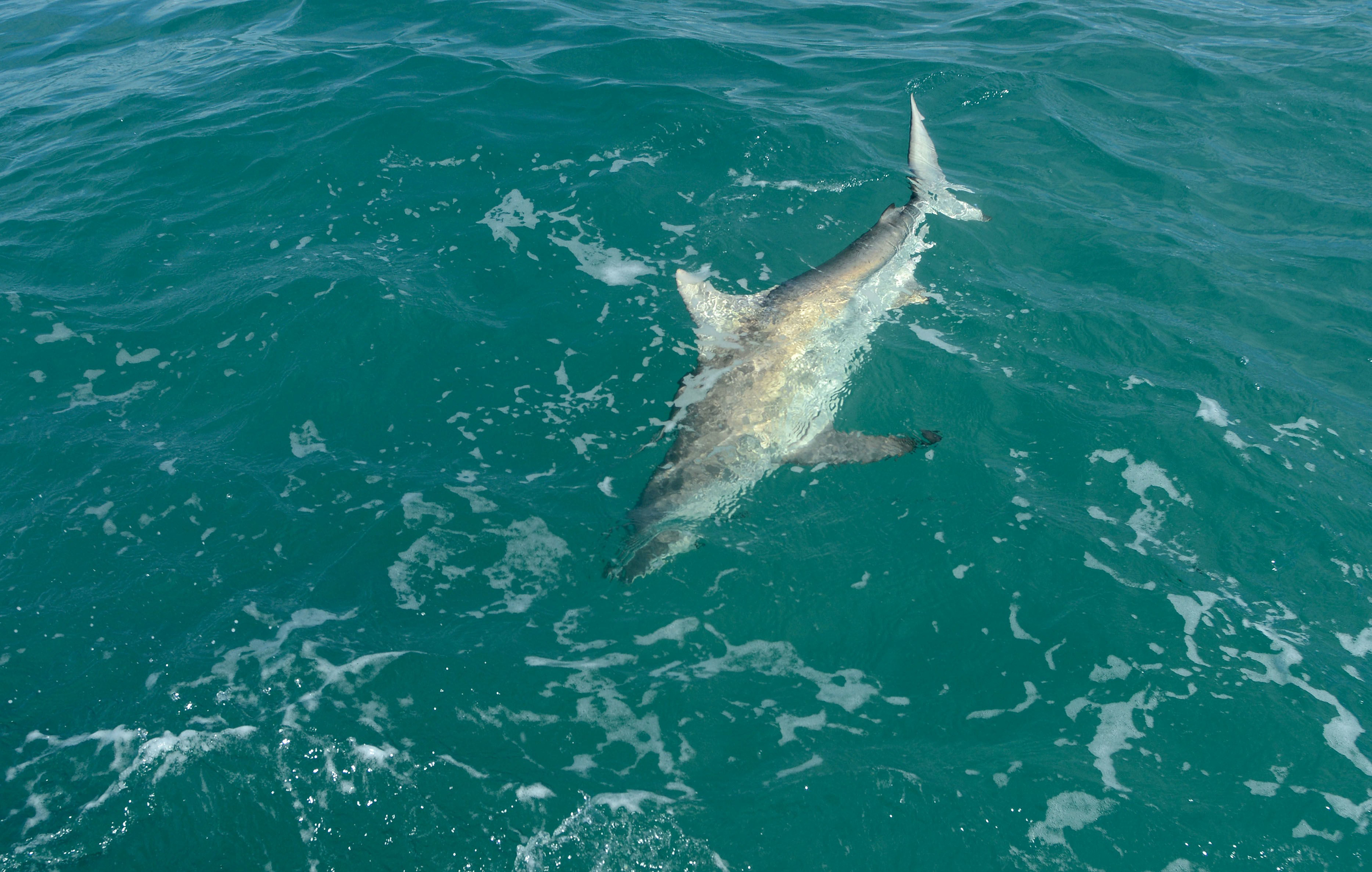 A blacktip shark hooked by Florida Atlantic University associate professor Stephen Kajiura and his team of students swims toward the boat off John D. MacArthur Beach State Park on March 3, 2015.