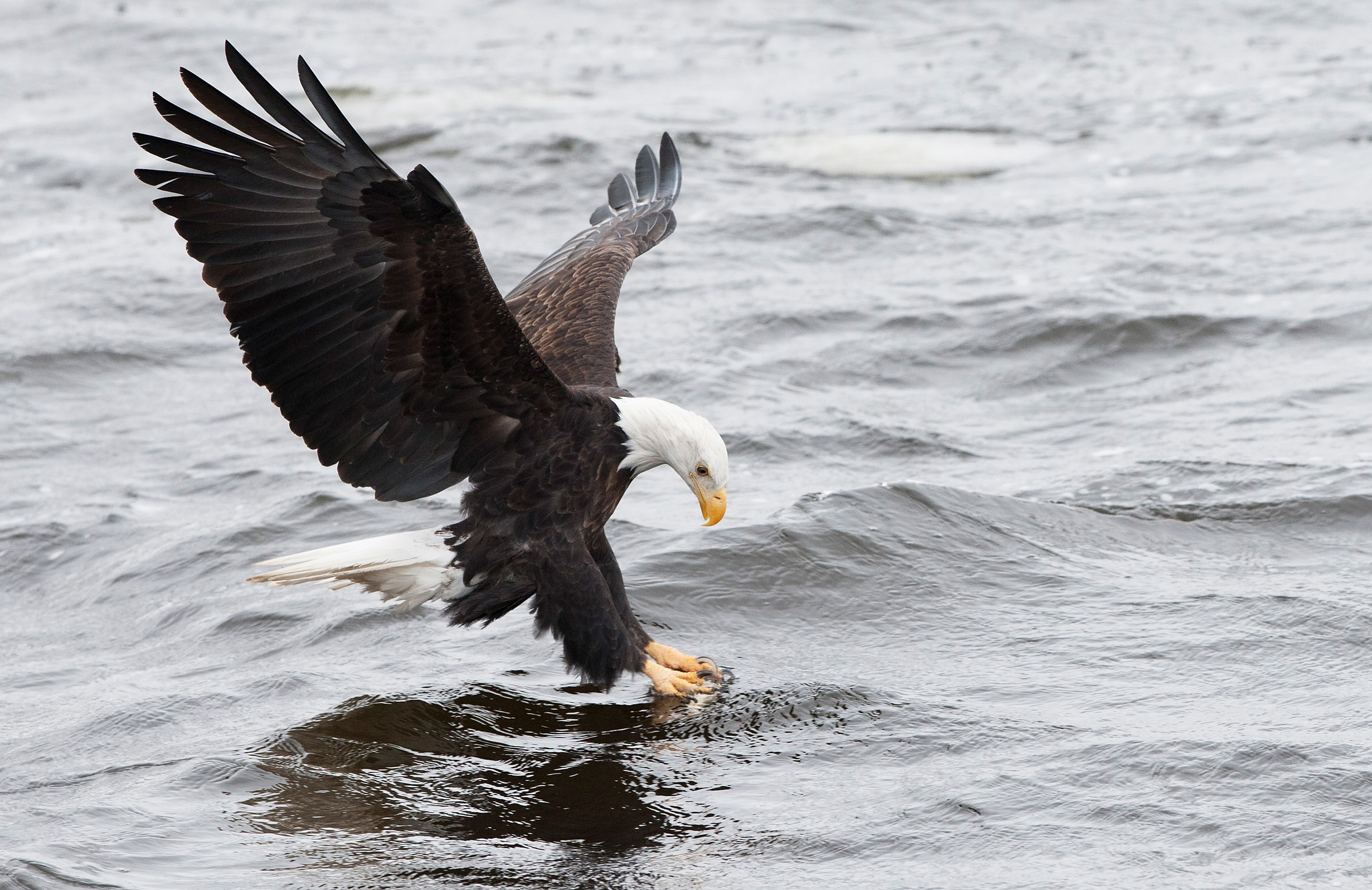 A bald eagle attempts to catch a fish at Mississippi River on January 11, 2015 in Rock Island, Illinois.