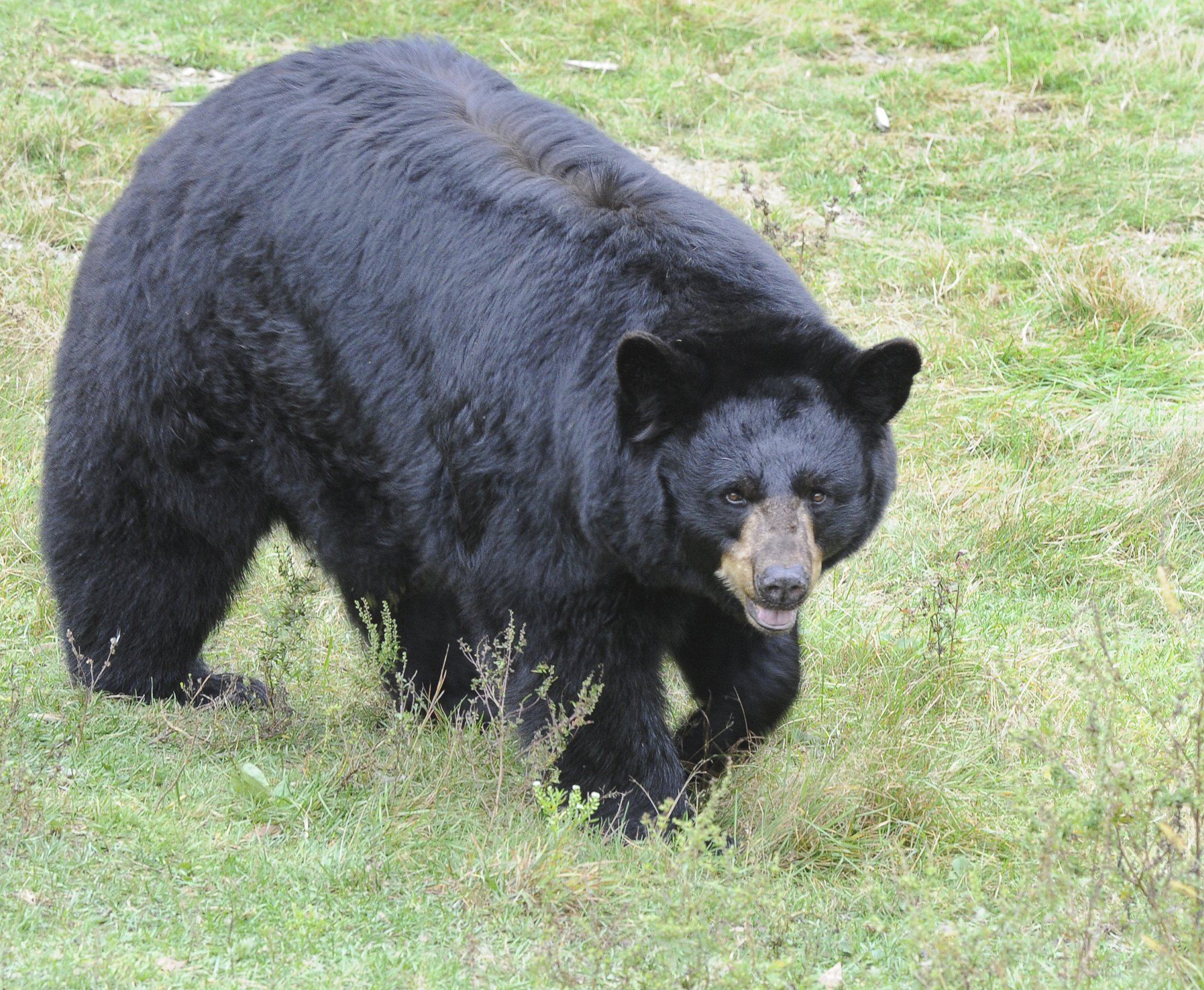 Black bears are among the animals at the Maine Wildlife Park in Gray Tues. Oct. 2, 2012.