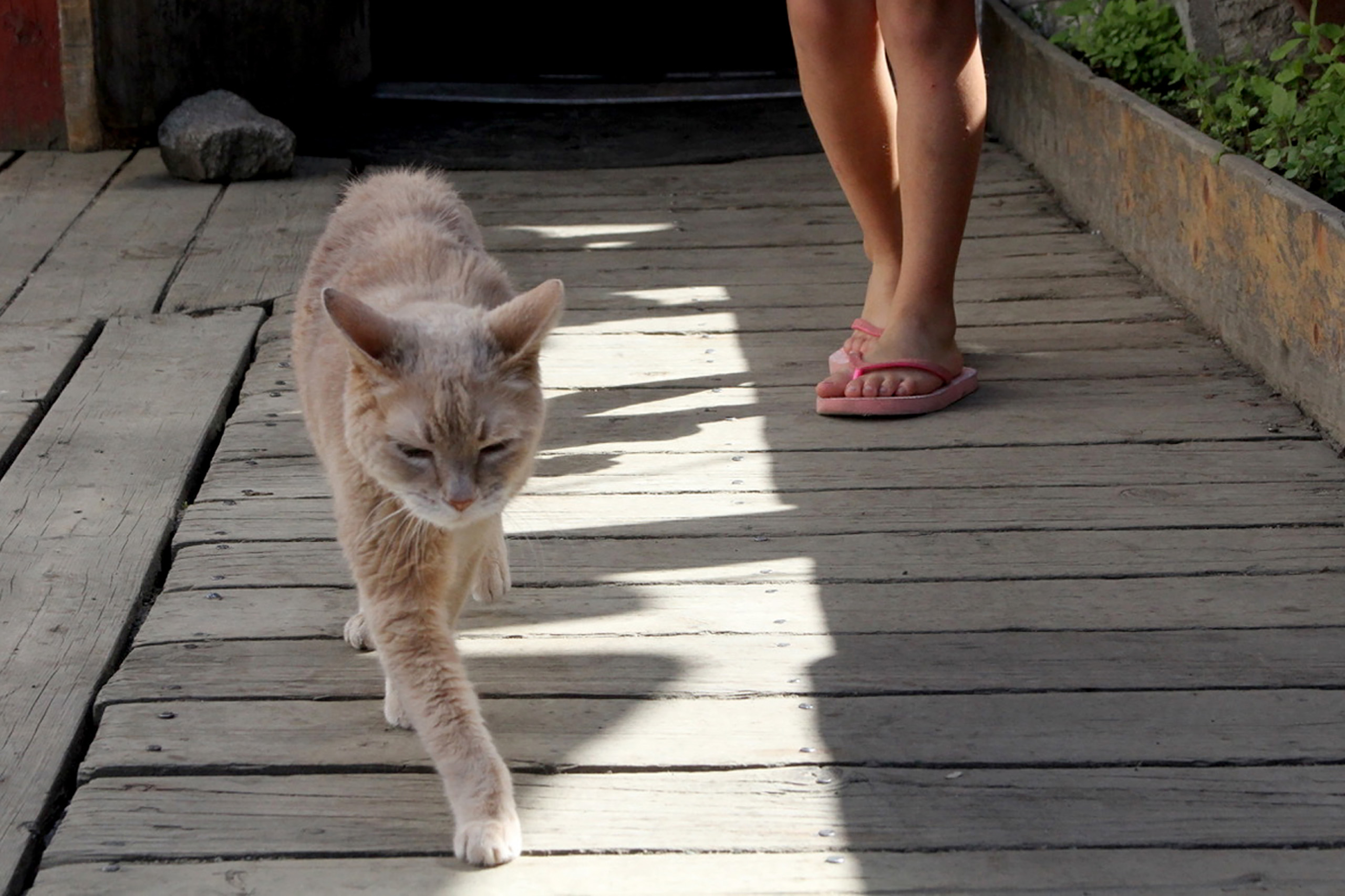 Stubbs, the honorary feline mayor of Talkeetna, Alaska, walks out of the West Rib Bar and Grill, on May 29, 2016.